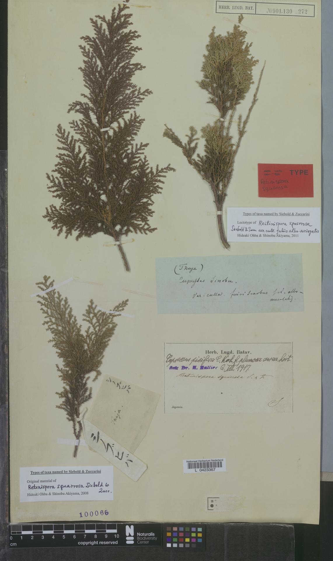 L  0423367 | Cupressus pisifera f. plumosaaurea Hort.
