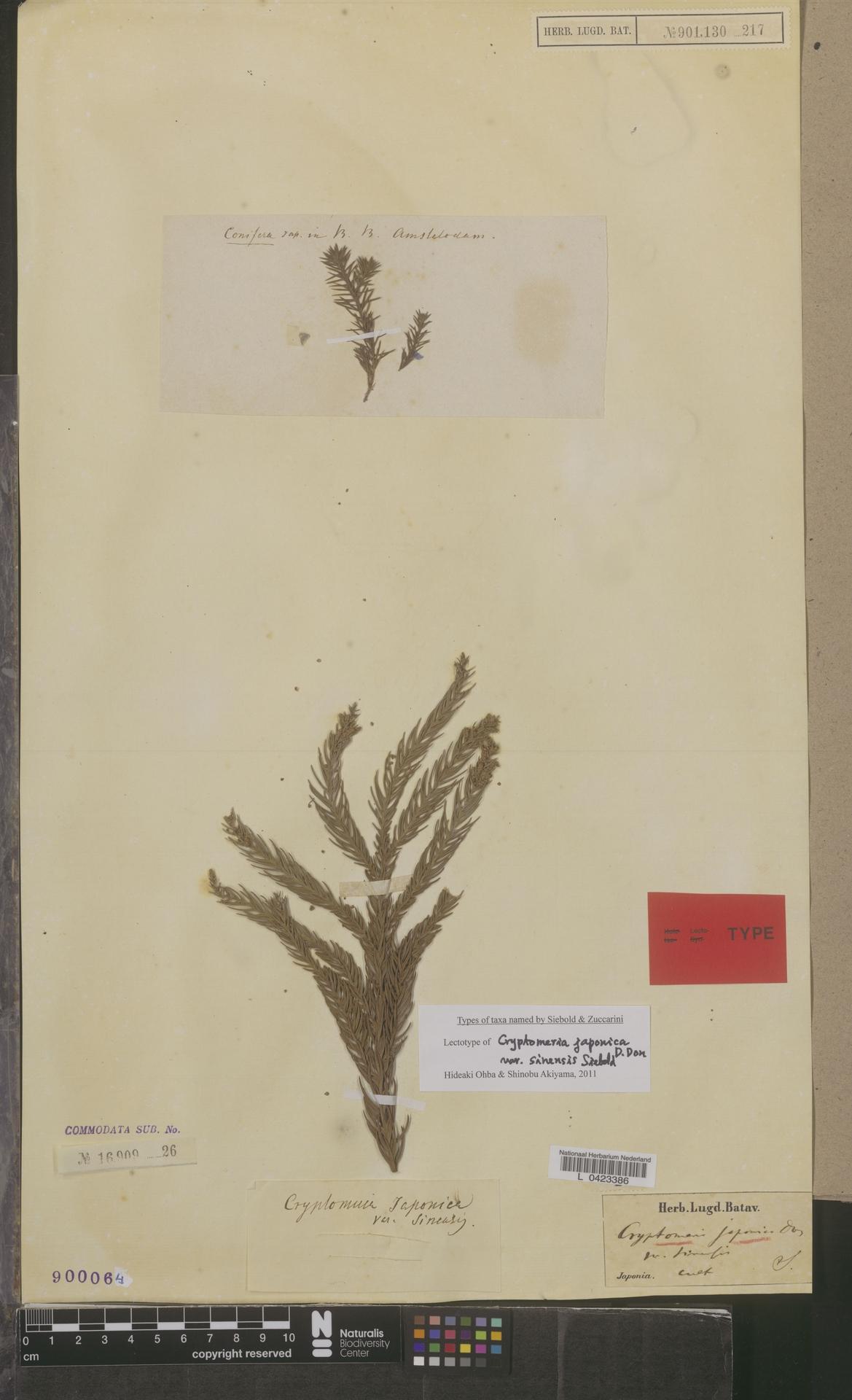 L  0423386 | Cryptomeria japonica var. sinensis Miq.
