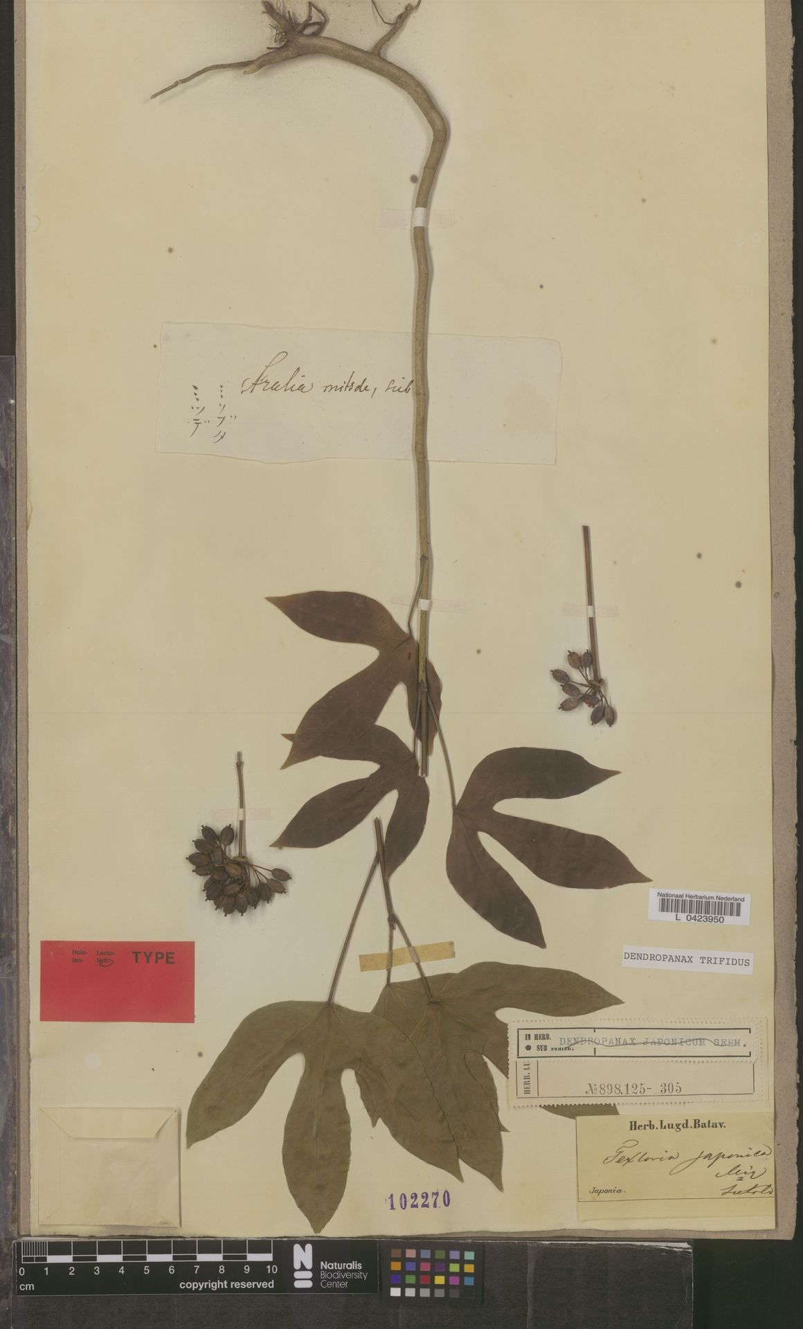 L  0423950   Dendropanax trifidus (Thunb.) Makino ex Hara