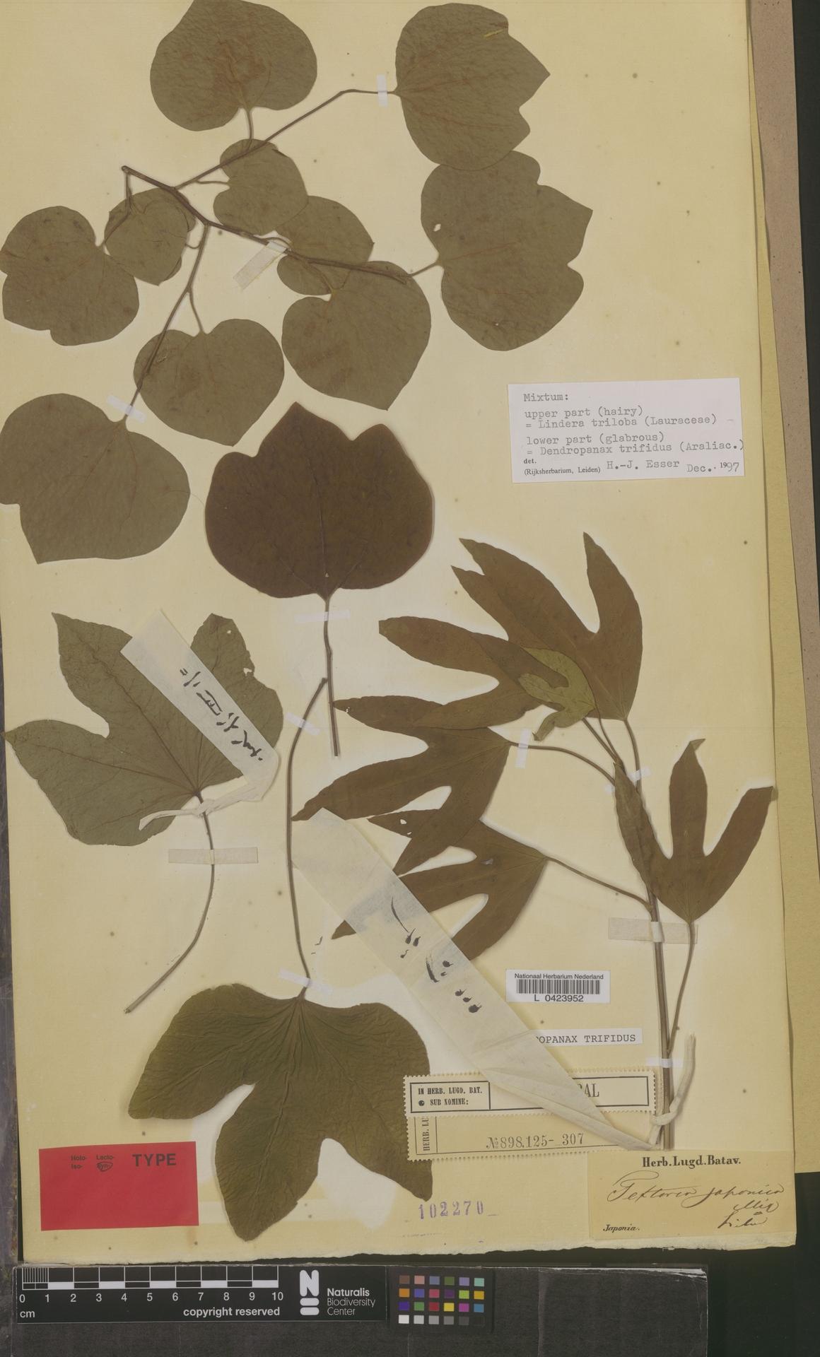 L  0423952 | Dendropanax trifidus (Thunb.) Makino ex Hara