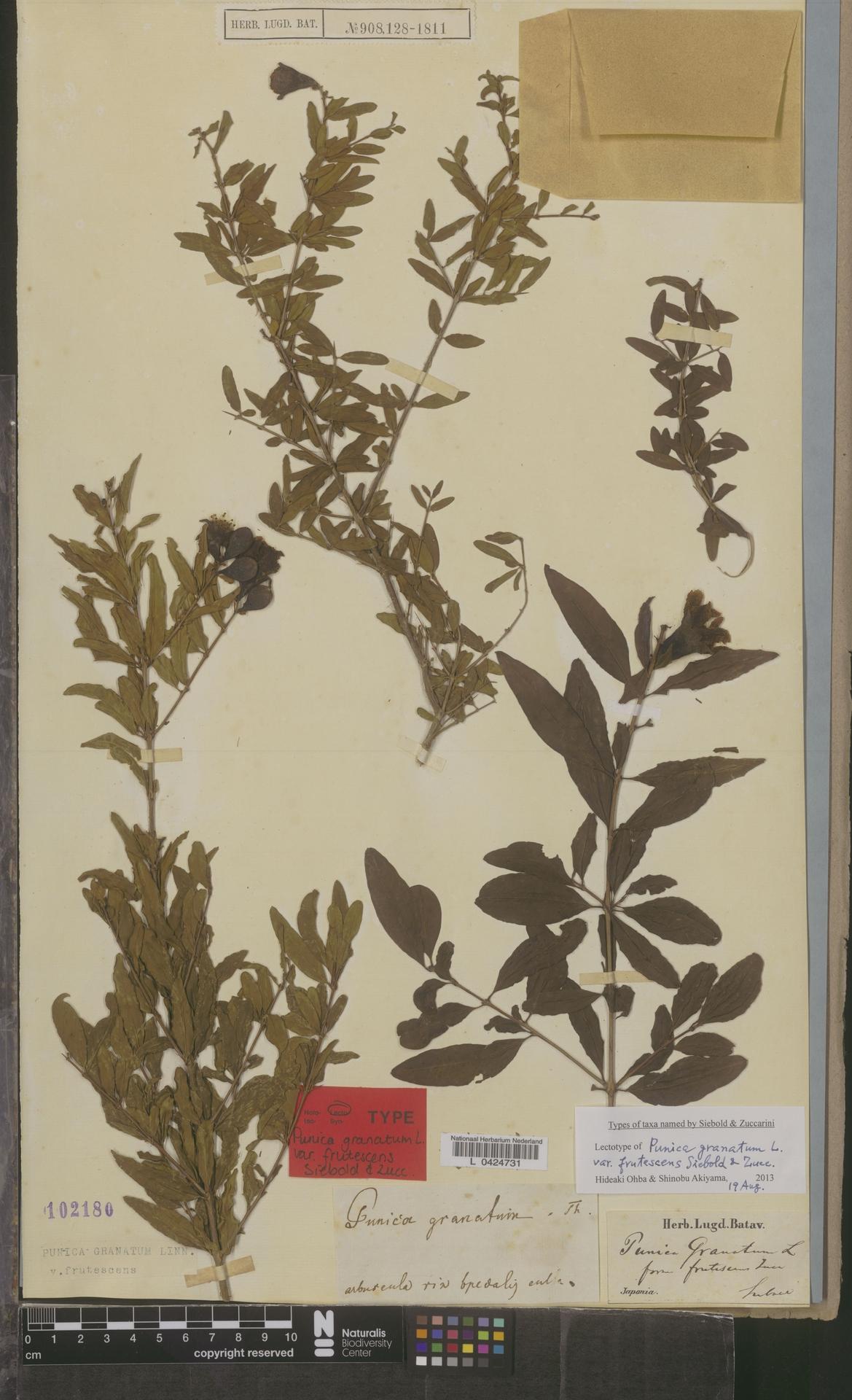 L  0424731 | Punica granatum var. frutescens