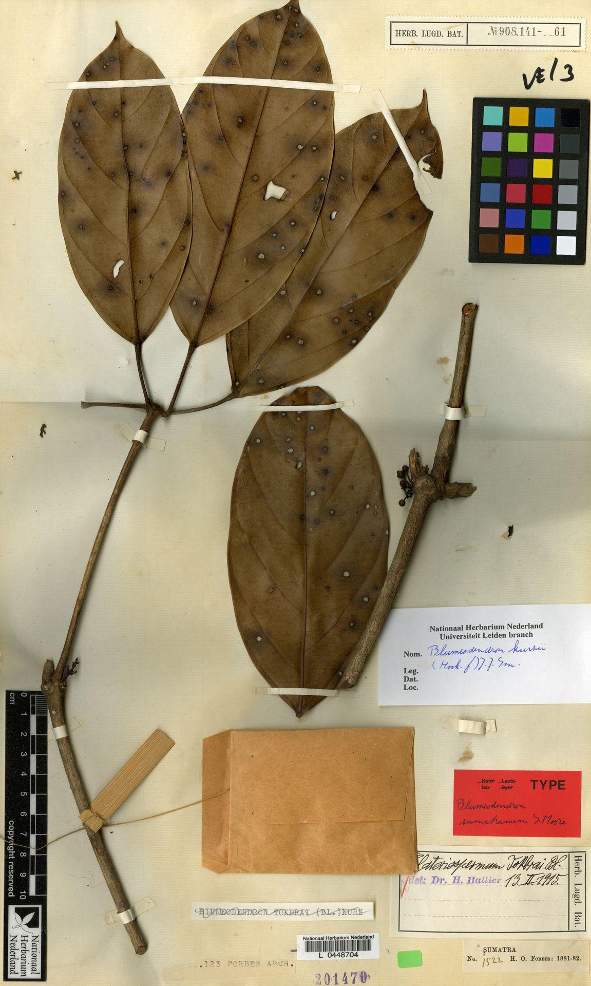 L  0448704 | Blumeodendron kurzii (Hook.f.) J.J.Sm.