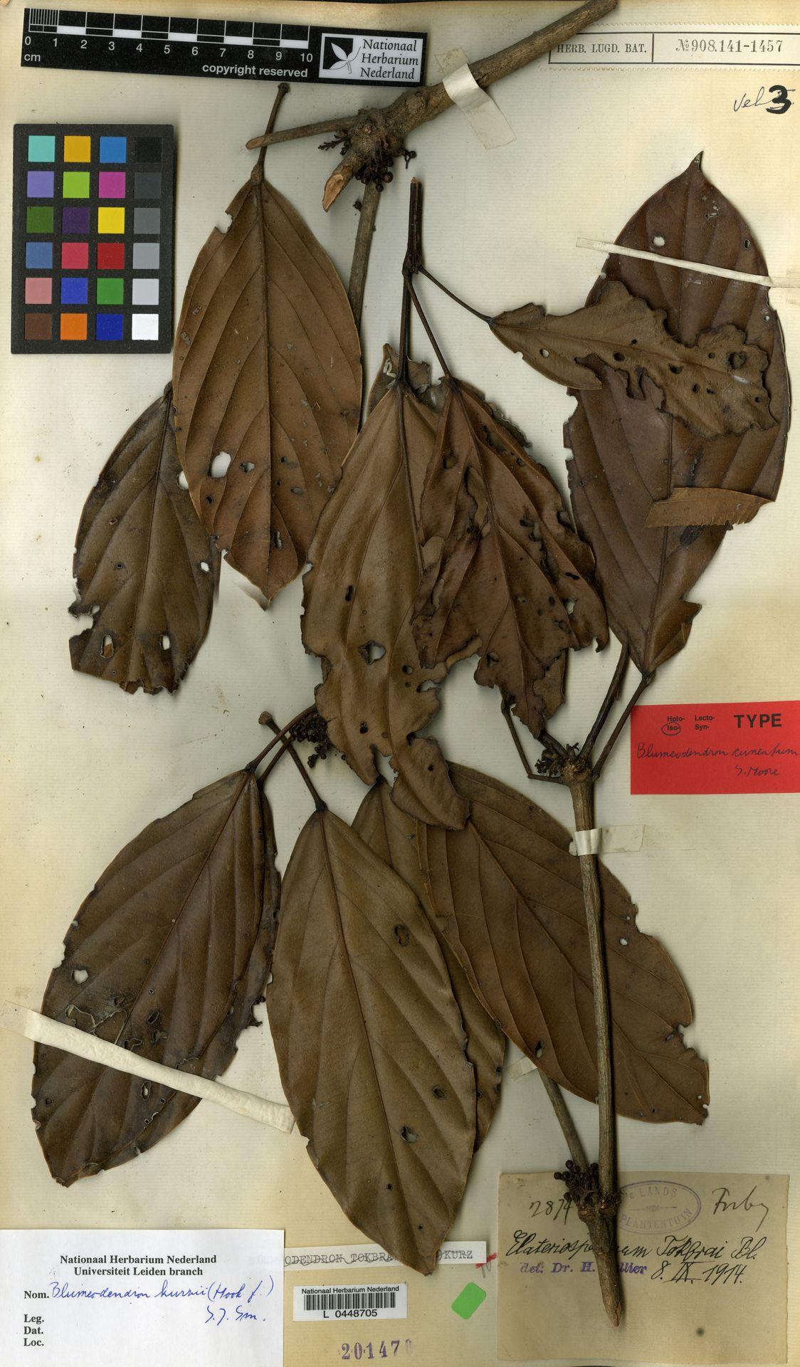 L  0448705 | Blumeodendron kurzii (Hook.f.) J.J.Sm.