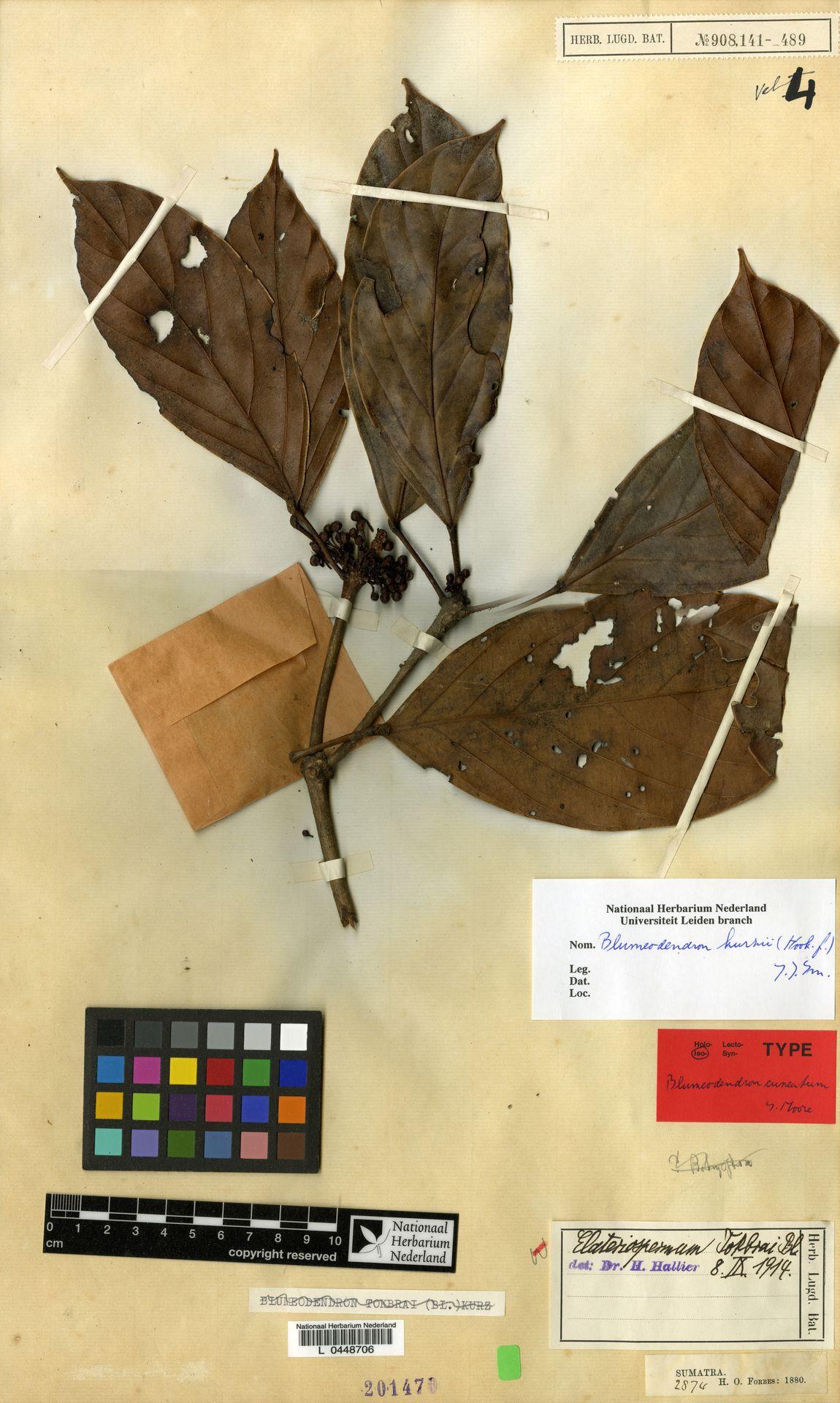 L  0448706 | Blumeodendron kurzii (Hook.f.) J.J.Sm.