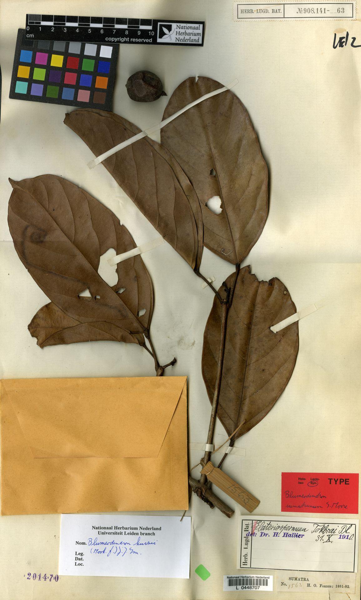 L  0448707 | Blumeodendron kurzii (Hook.f.) J.J.Sm.