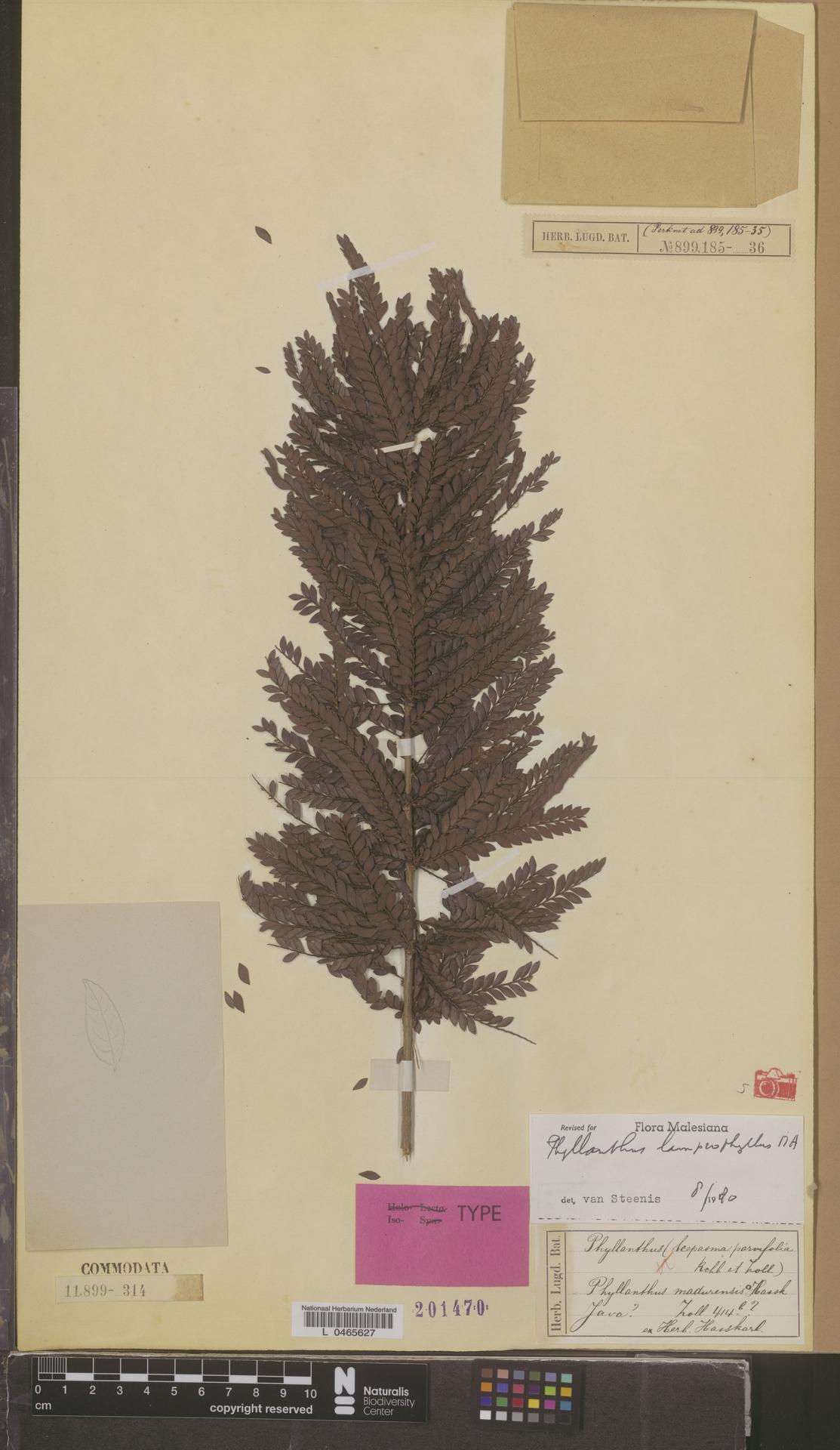 L  0465627   Phyllanthus lamprophyllus Müll.Arg.