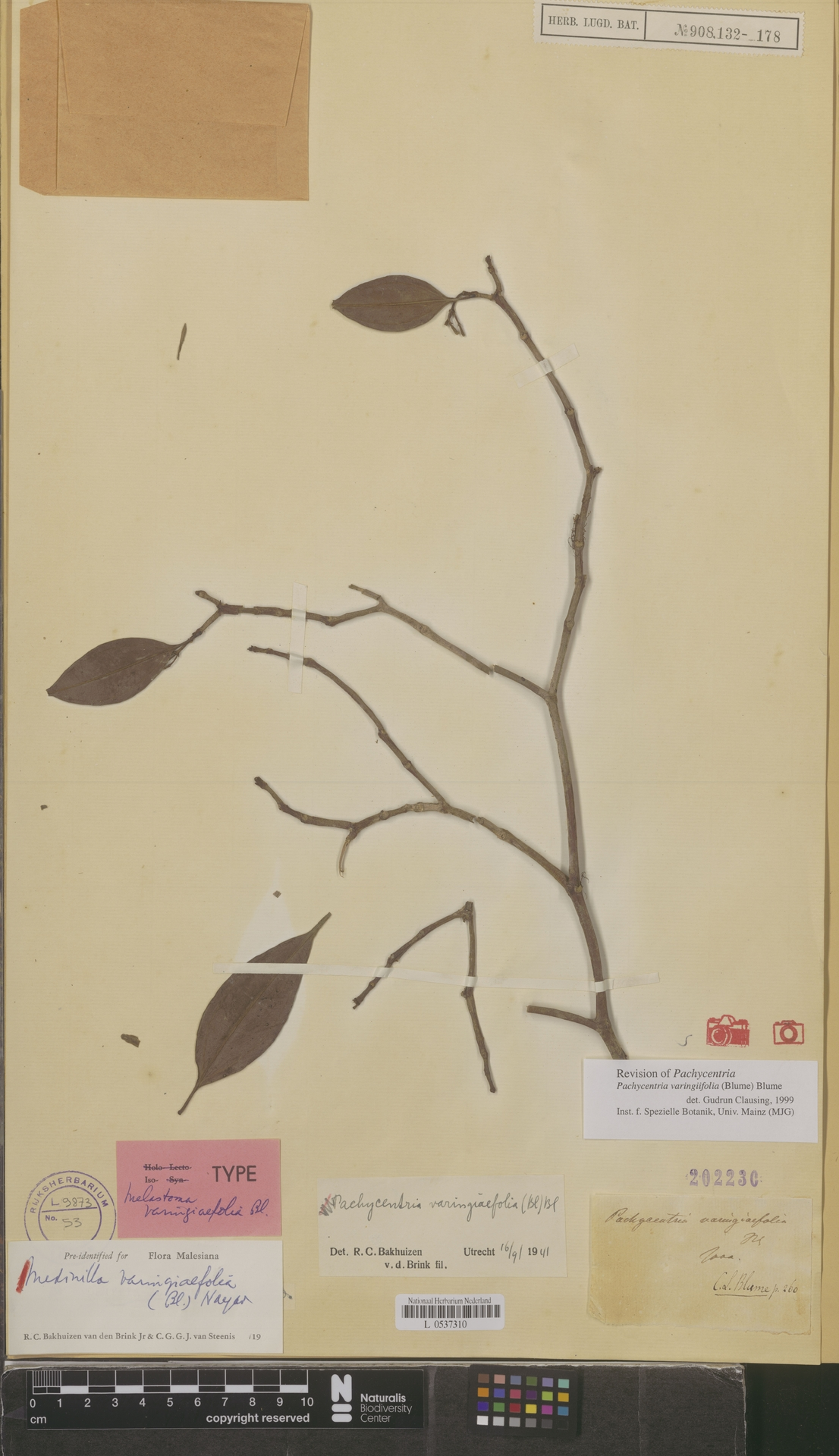 L  0537310 | Medinilla varingiaefolia (Blume) M.P.Nayar