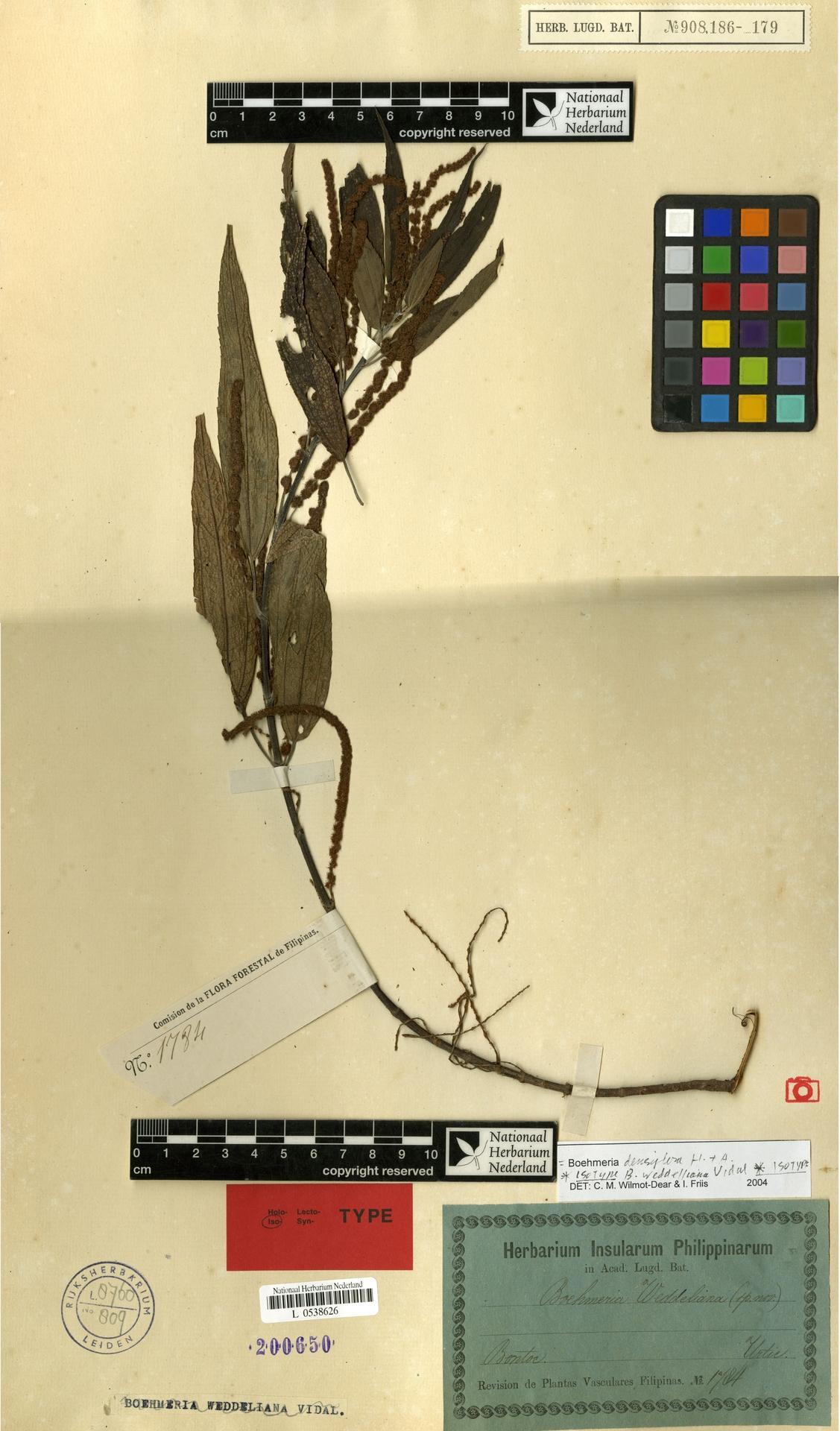 L  0538626   Boehmeria densiflora Hook. & Arn.