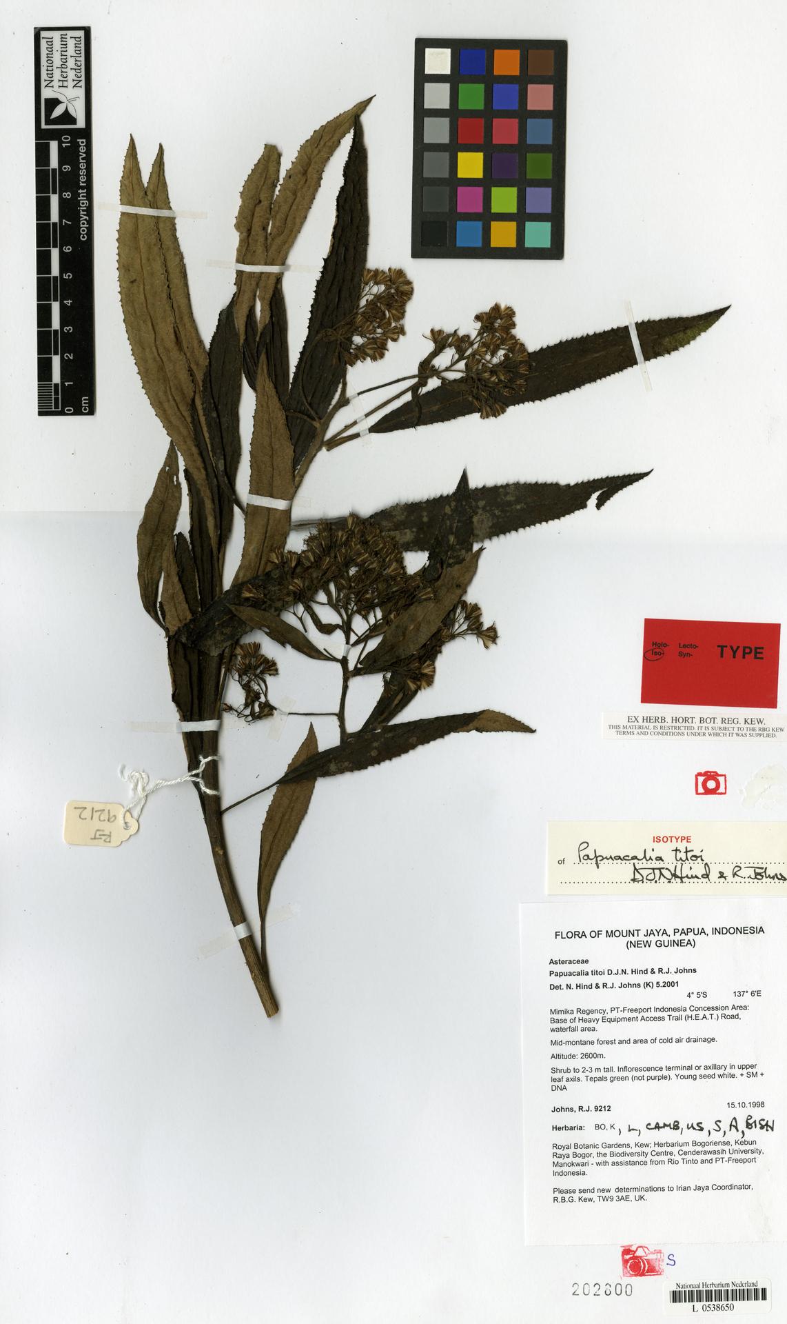 L  0538650 | Papuacalia titoi D.J.N.Hind & R.J.Johns
