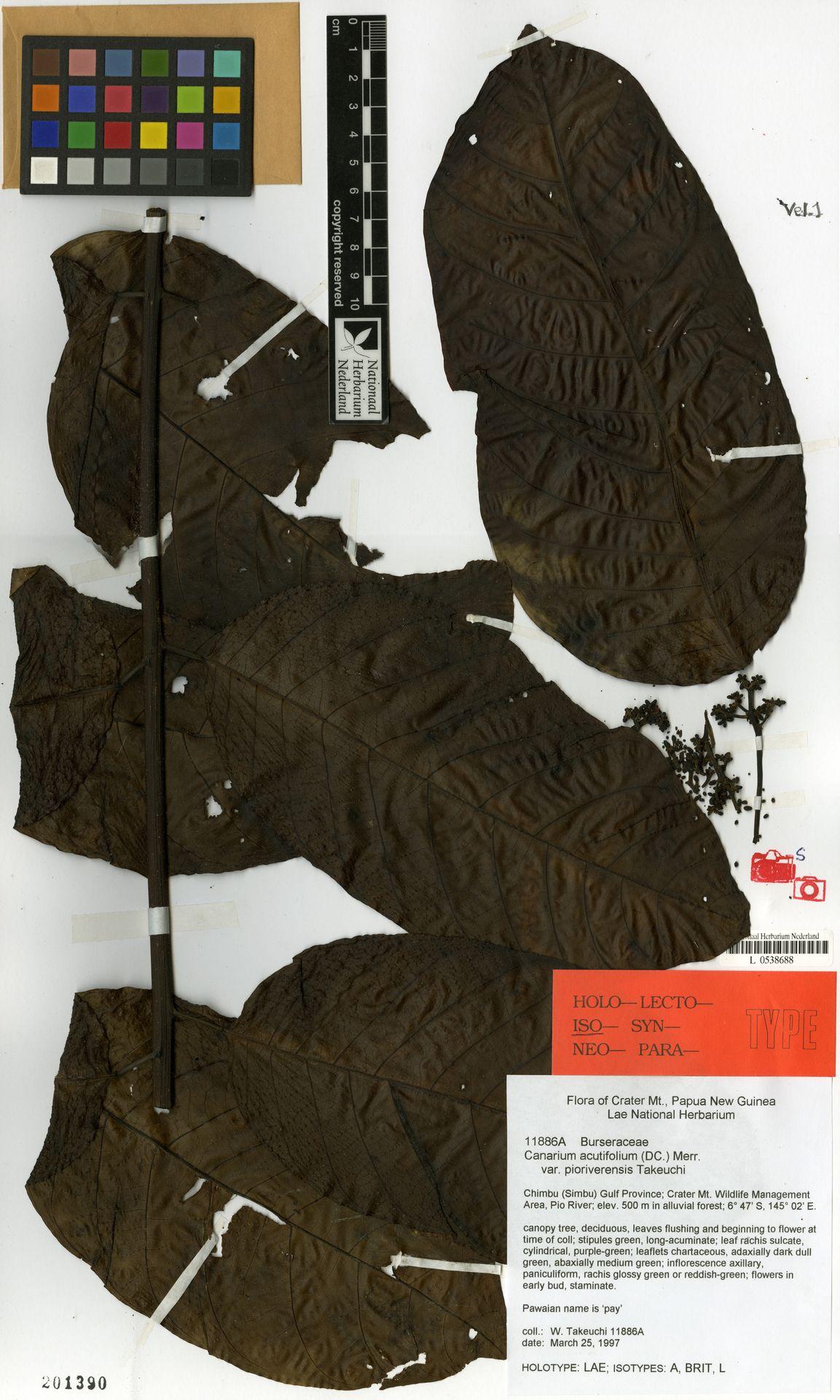 L  0538688 | Canarium acutifolium var. pioriverensis W.N.Takeuchi