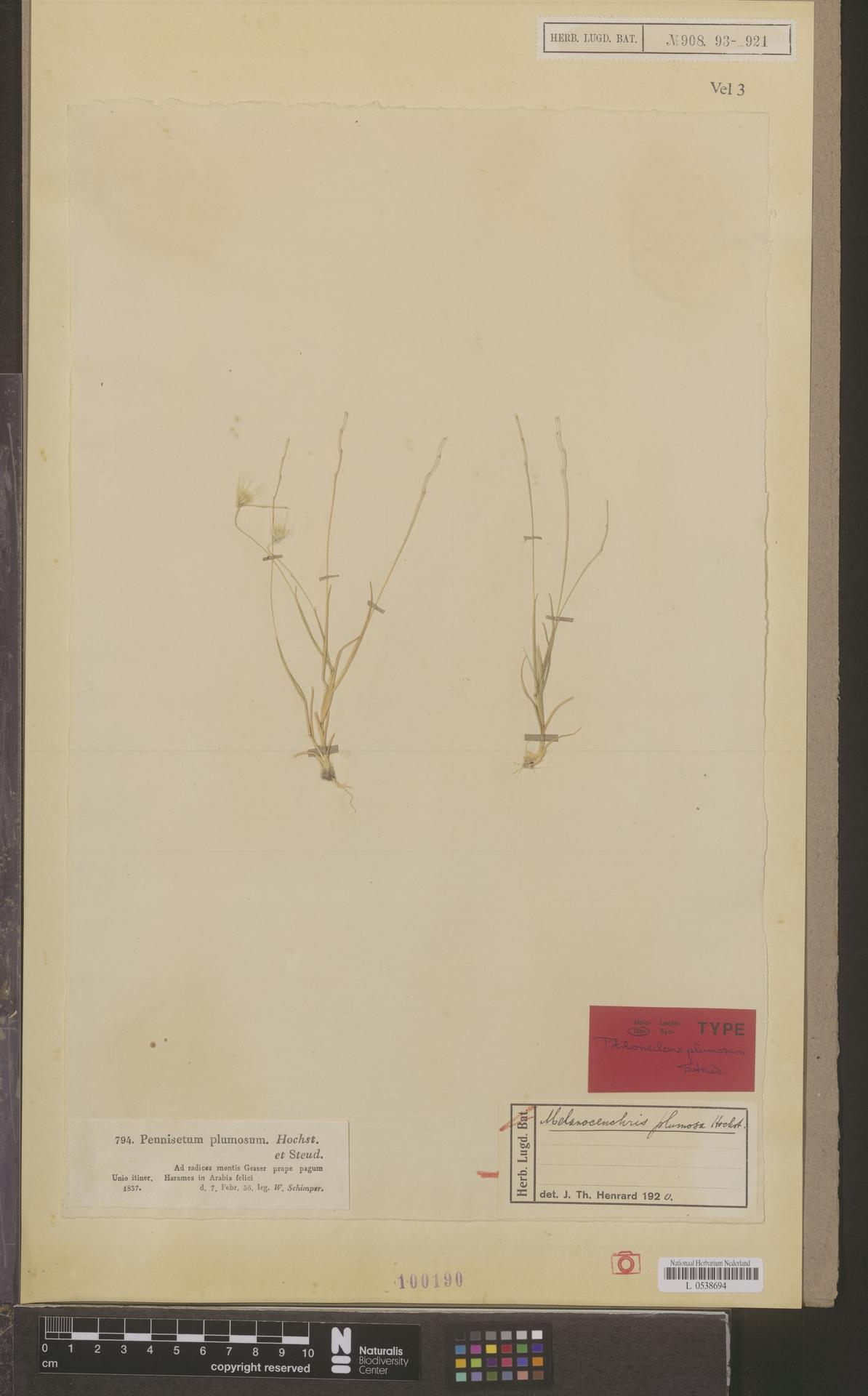 L  0538694 | Melanocenchris plumosa Hochst.