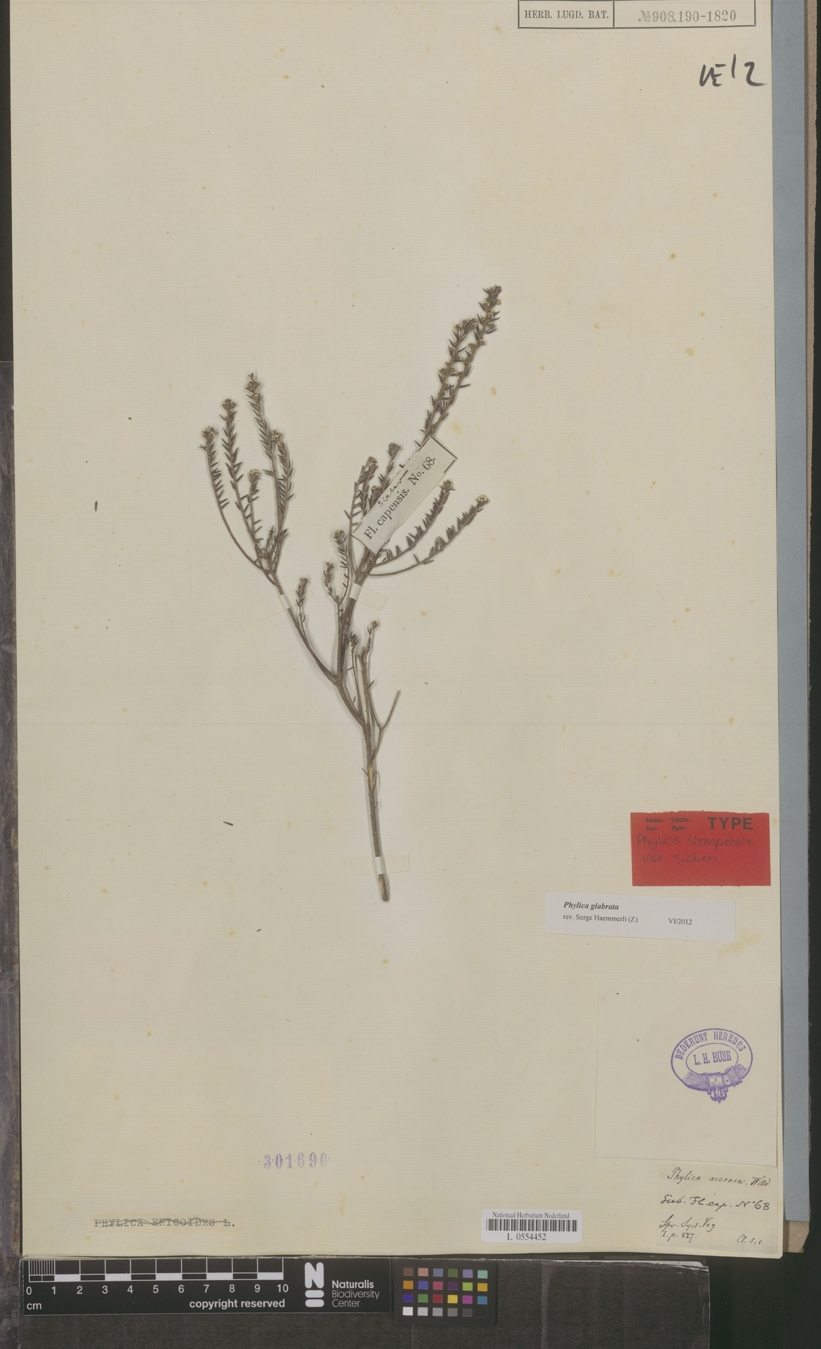 L  0554452 | Phylica glabrata Thunb.