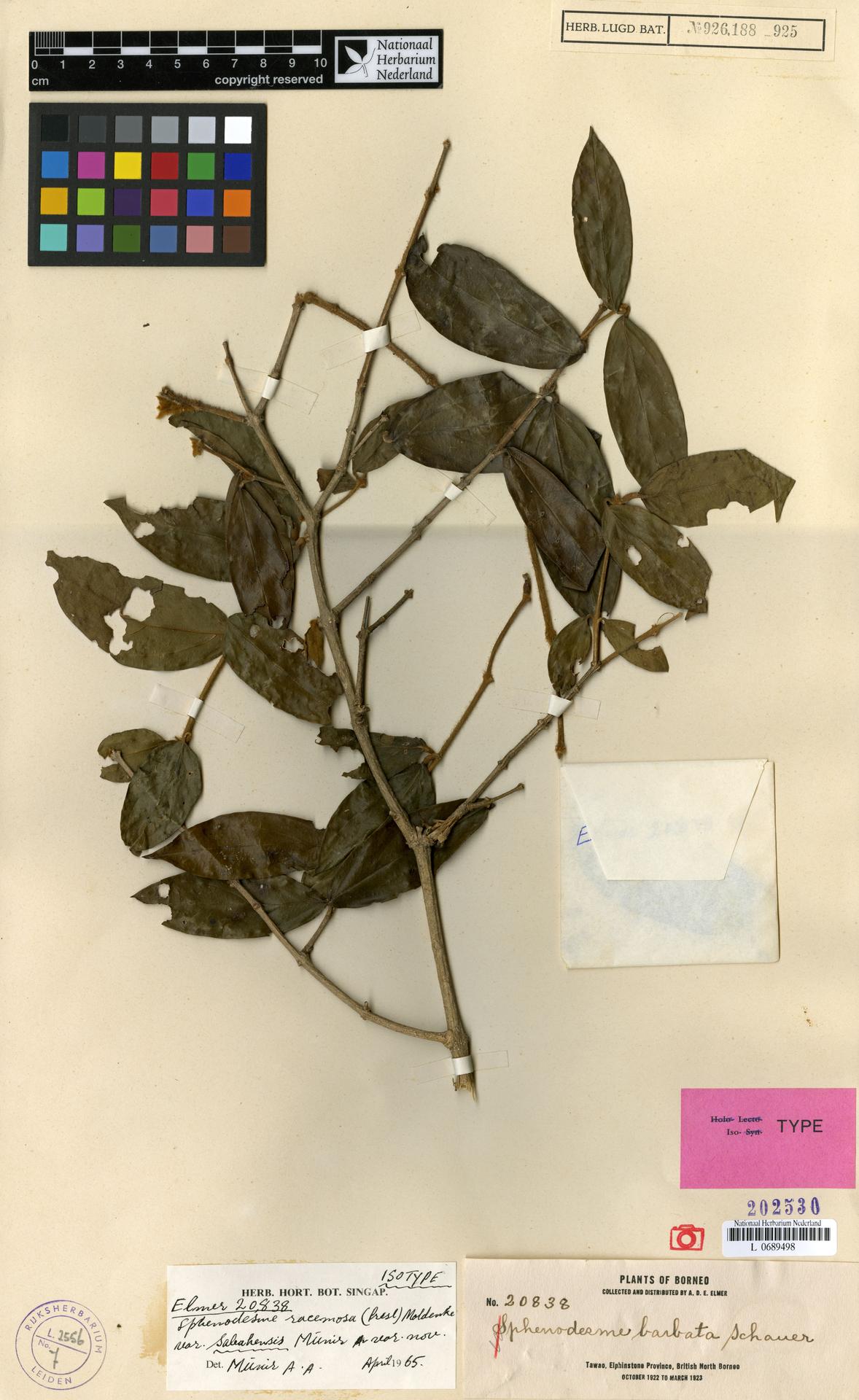 L  0689498 | Sphenodesme racemosa var. sabahensis Munir