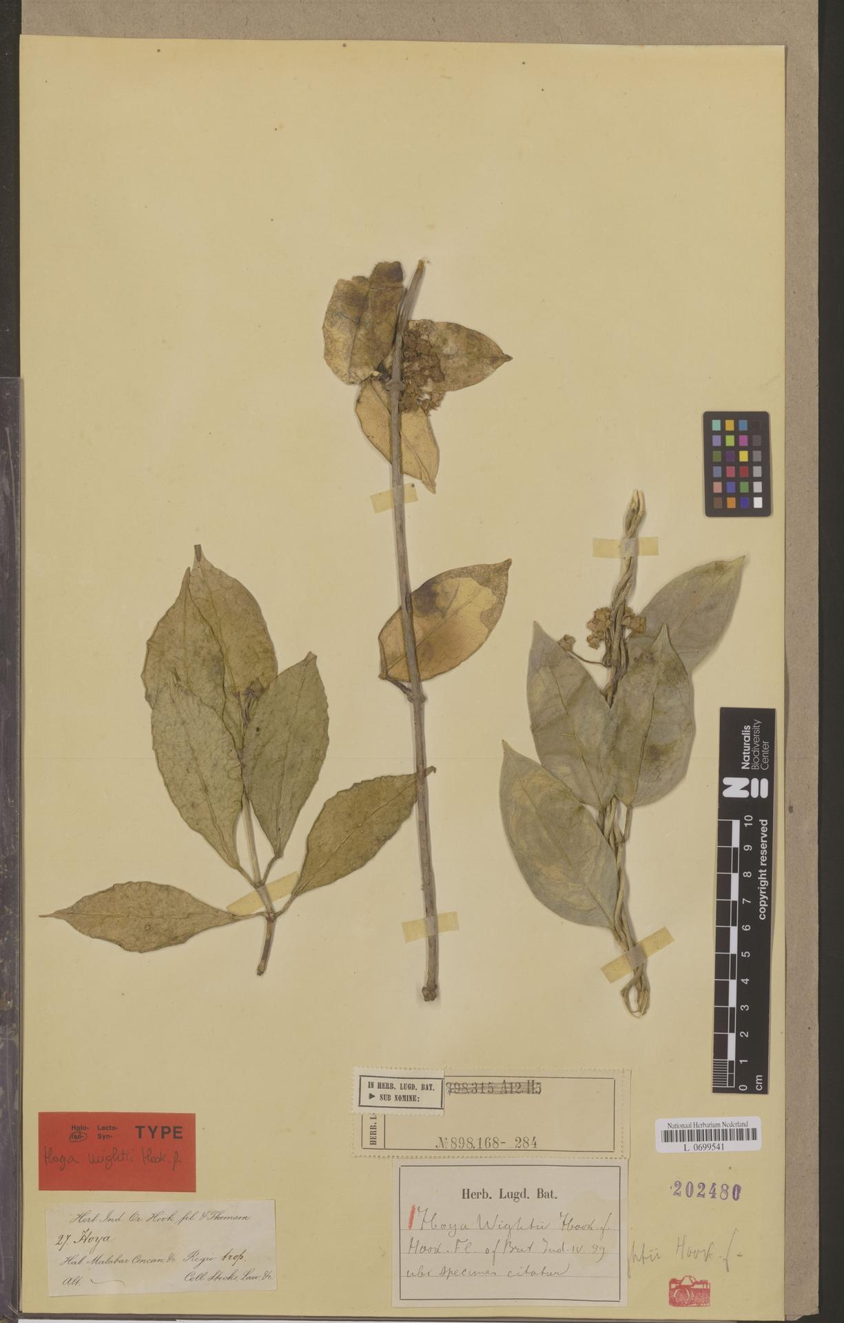 L  0699541 | Hoya wightii Hook.f.