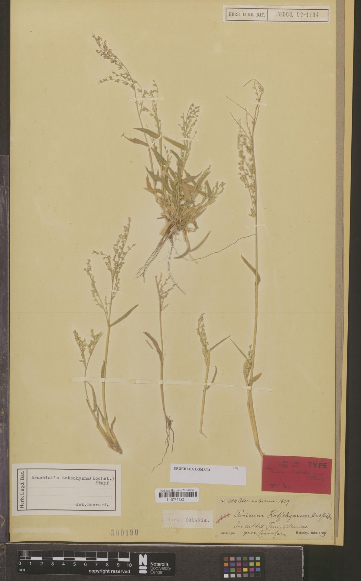 L  0735752 | Urochloa comata (Hochst. ex A.Rich.) Sosef