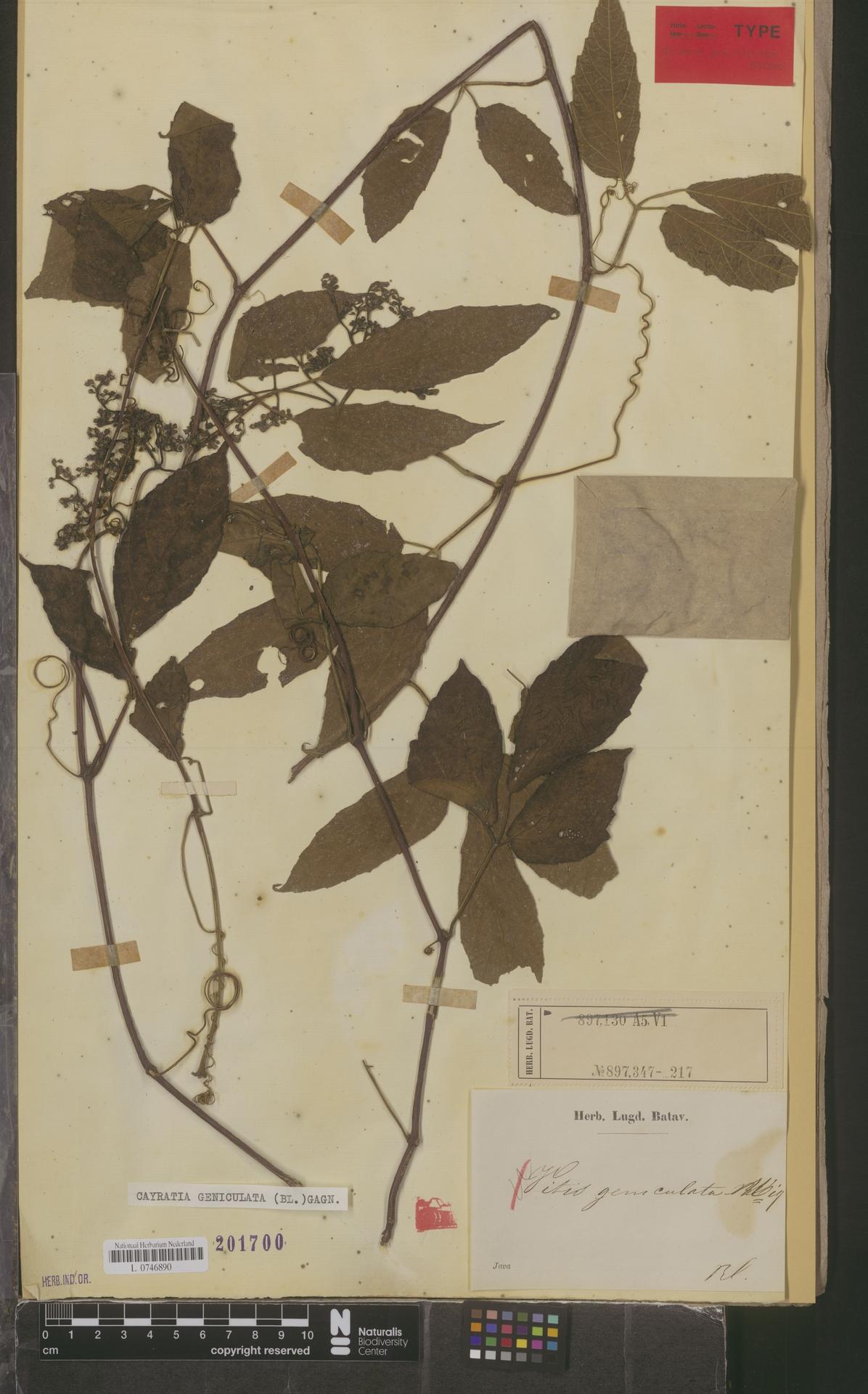 L  0746890   Cayratia geniculata (Blume) Gagnep.