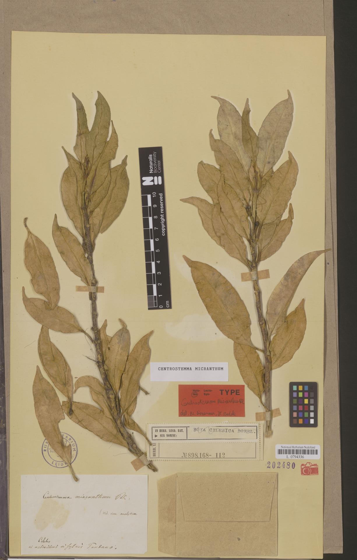 L  0794336 | Centrostemma micranthum Blume