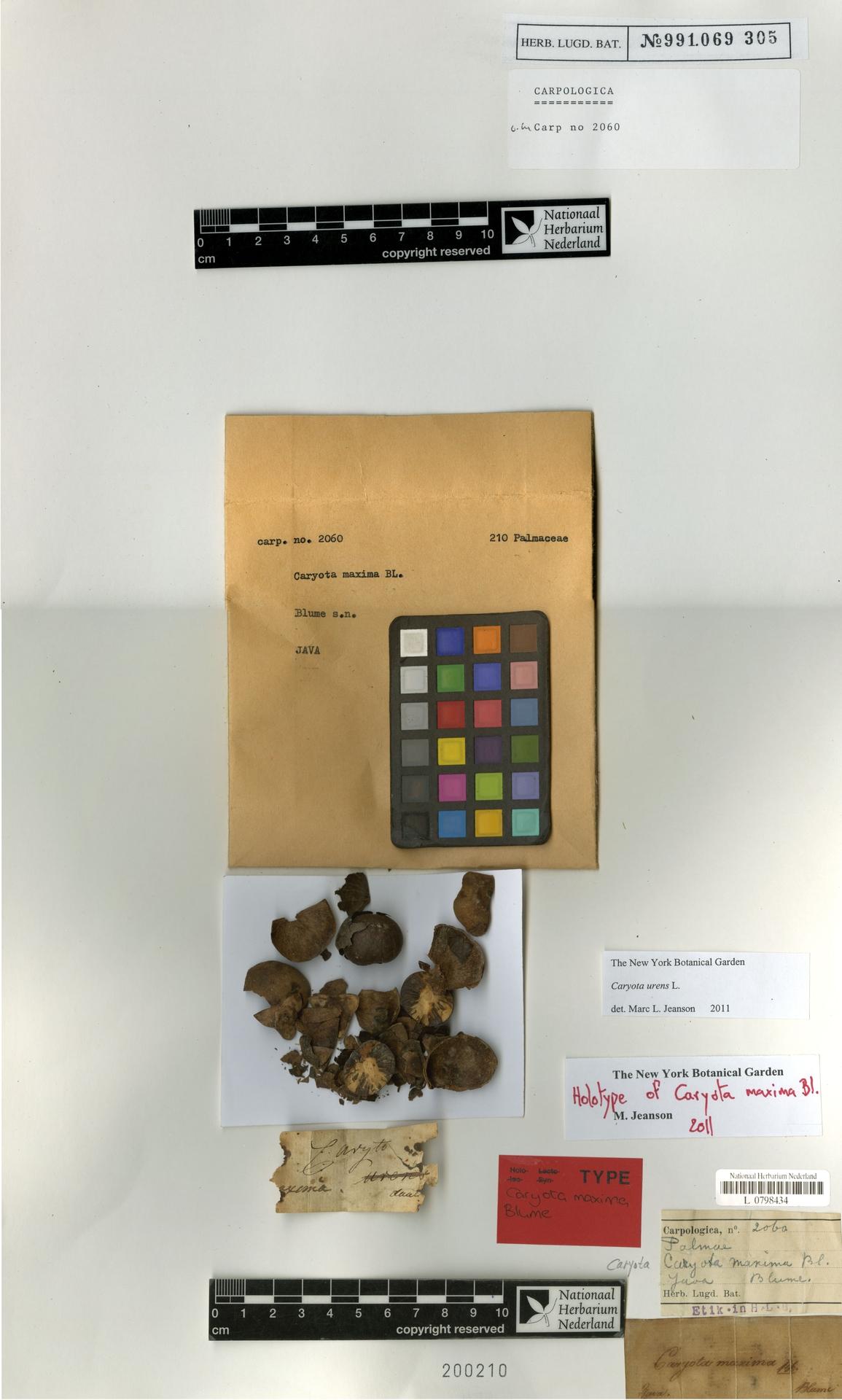 L  0798434 | Caryota urens L.