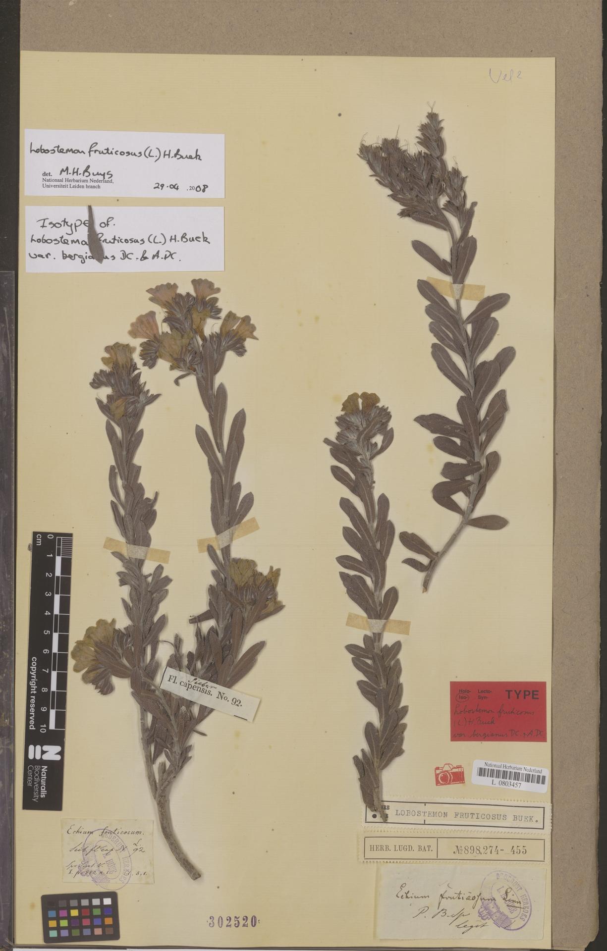 L  0803457   Lobostemon fruticosus (L.) H.Buek