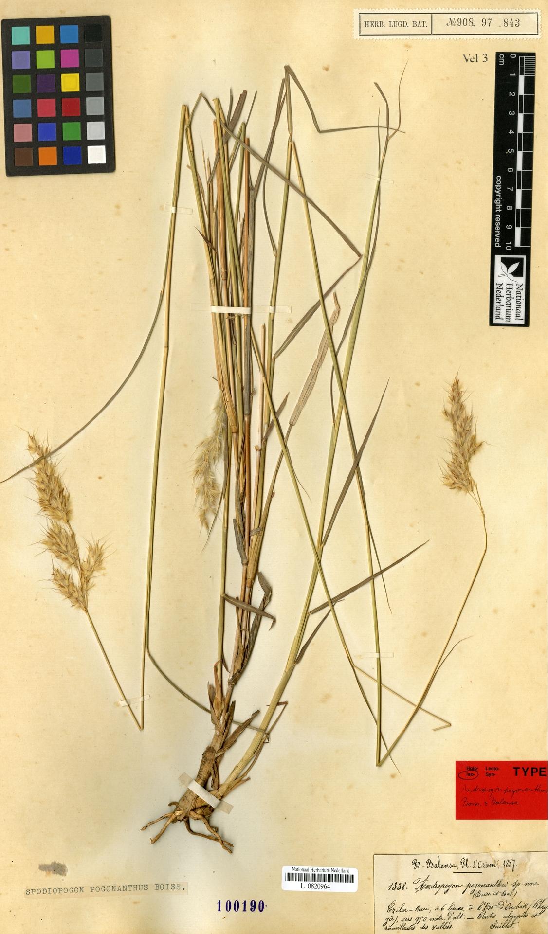L  0820964 | Spodiopogon pogonanthus (Boiss. & Balansa) Benth.