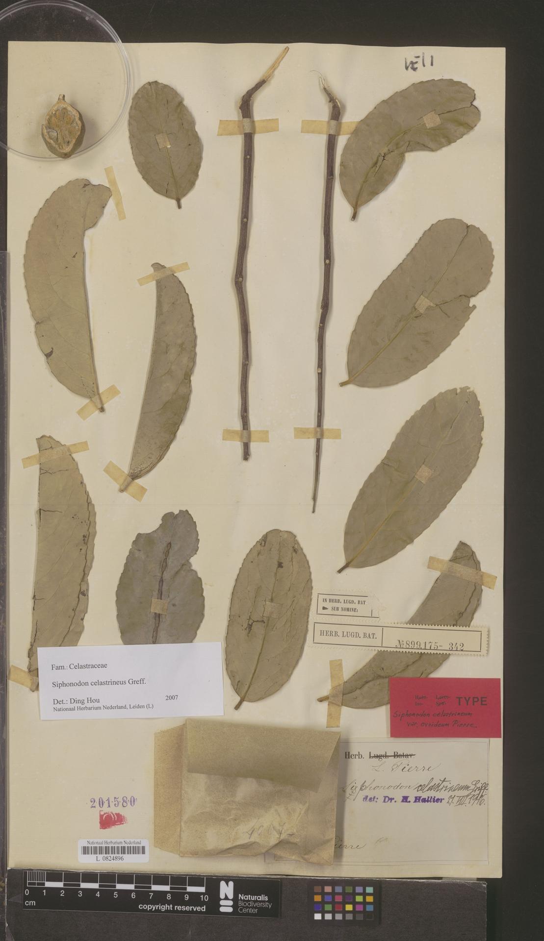 L  0824896 | Siphonodon celastrineus Griff.