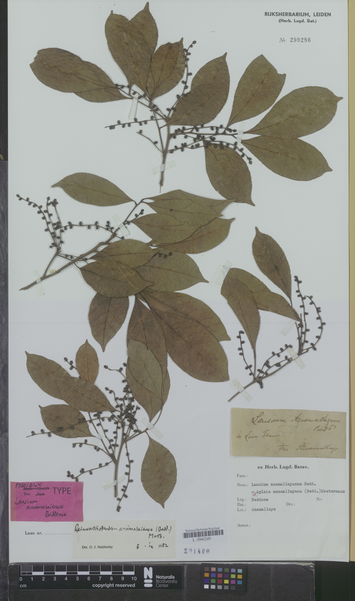 L  0940249   Reinwardtiodendron anamalaiense (Bedd.) Mabb.