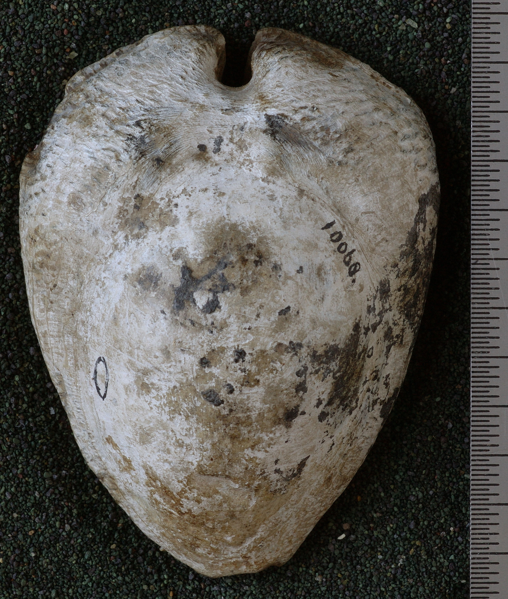 RGM.10068   Barycypraea murisimilis (Martin, 1879)