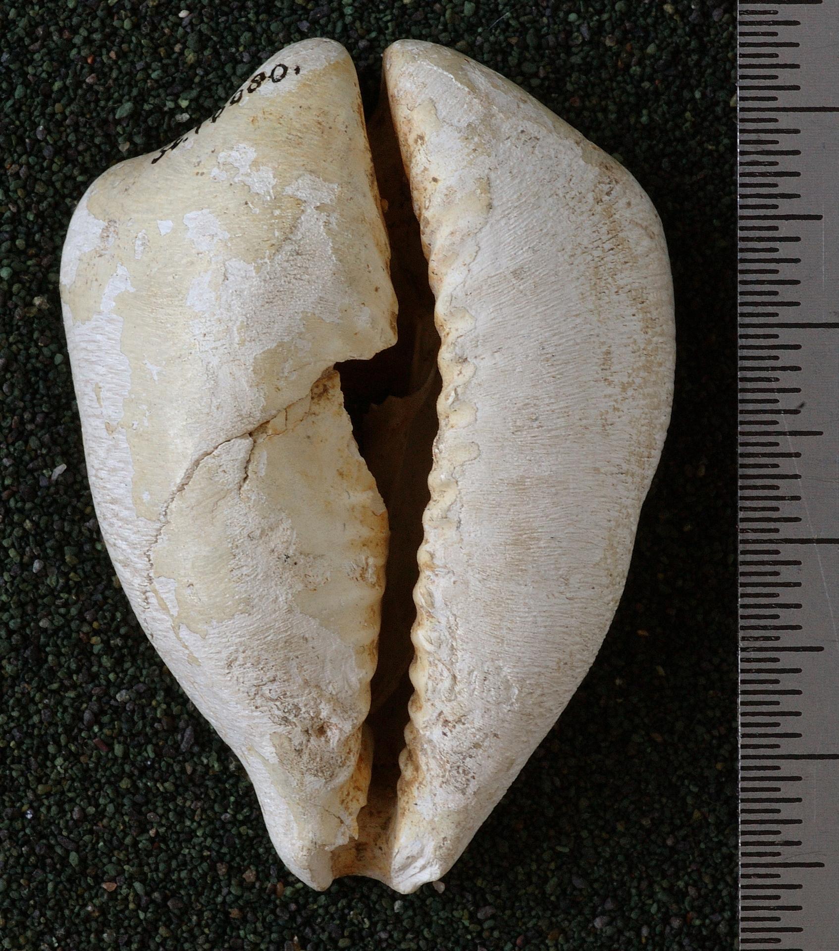 RGM.10080.b | Cypraea (Aricia) caputviperae Martin, 1899
