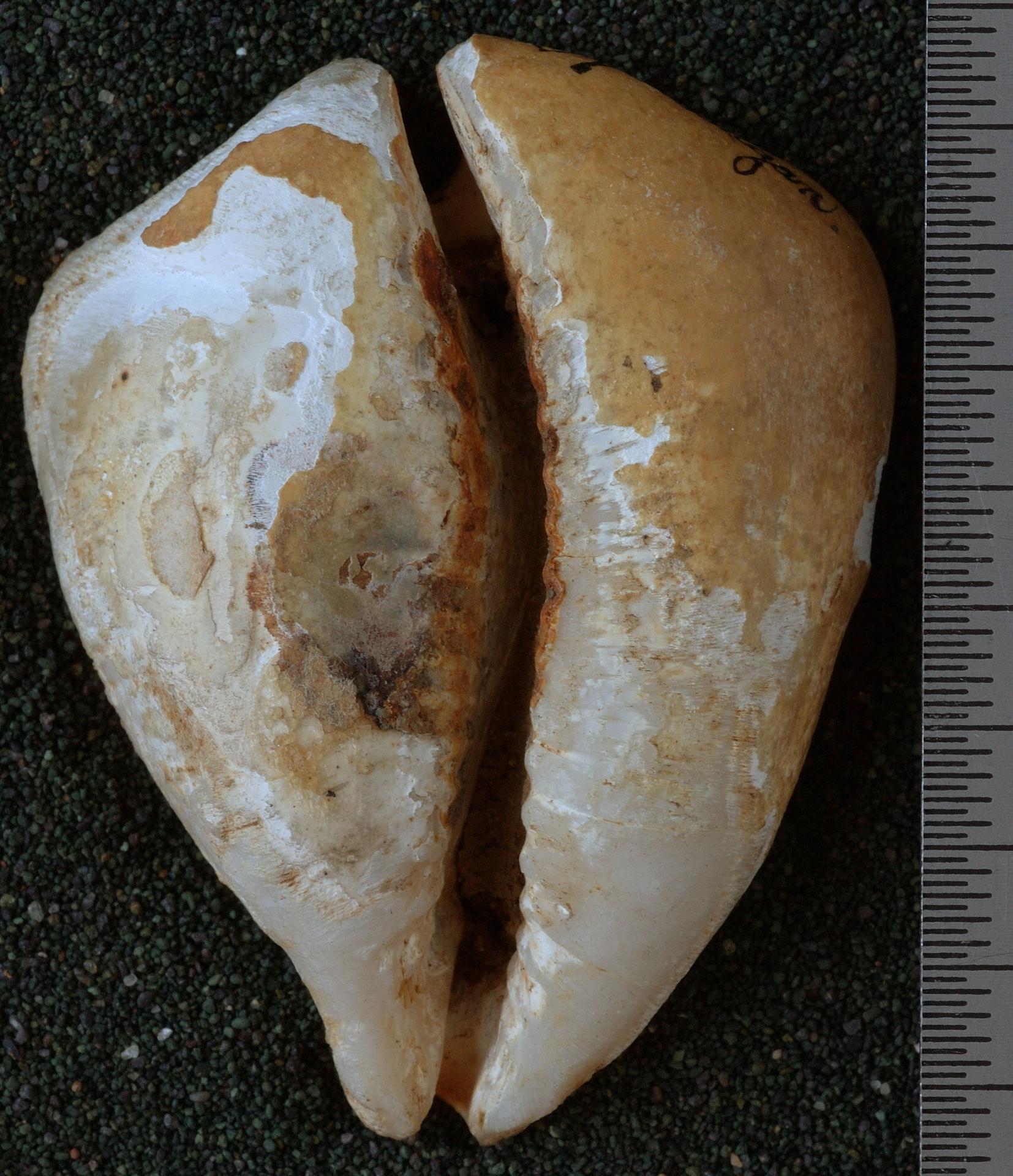 RGM.10083   Cypraea (Aricia) caputviperae Martin, 1899