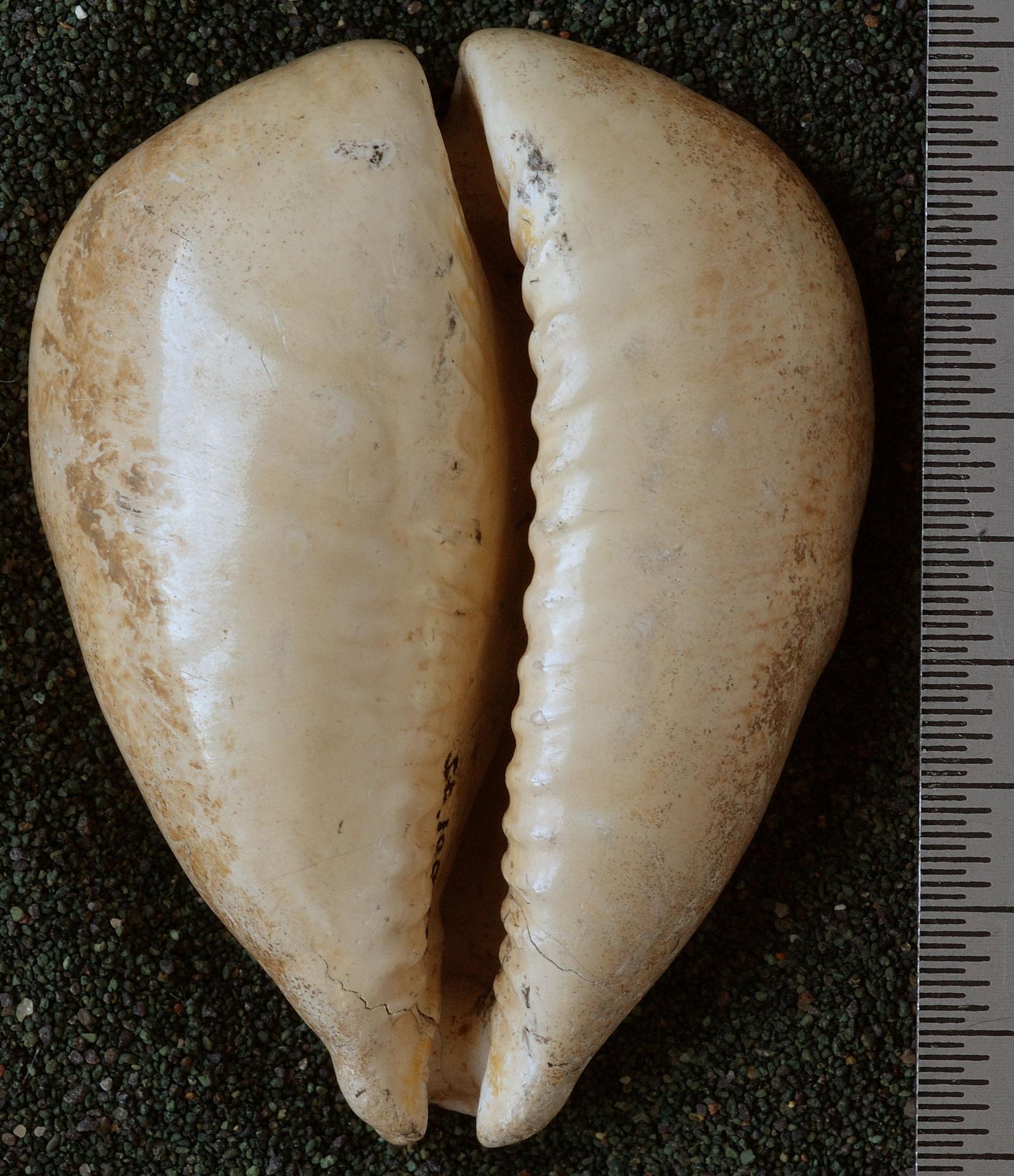 RGM.10087.c | Cypraea (Aricia) beberkiriana Martin, 1899
