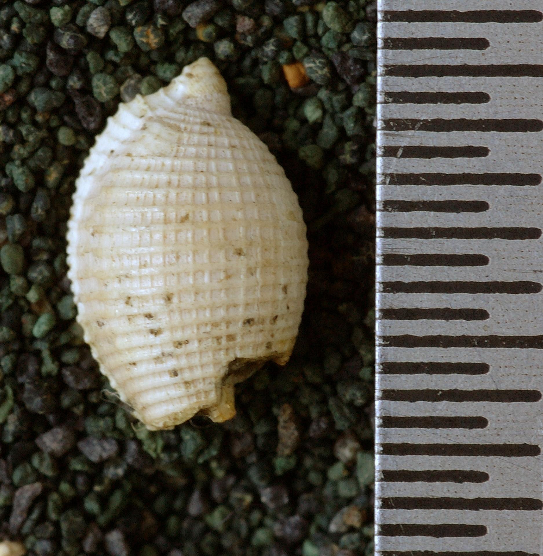 RGM.10138 | Cypraedia conigera (Martin, 1914)