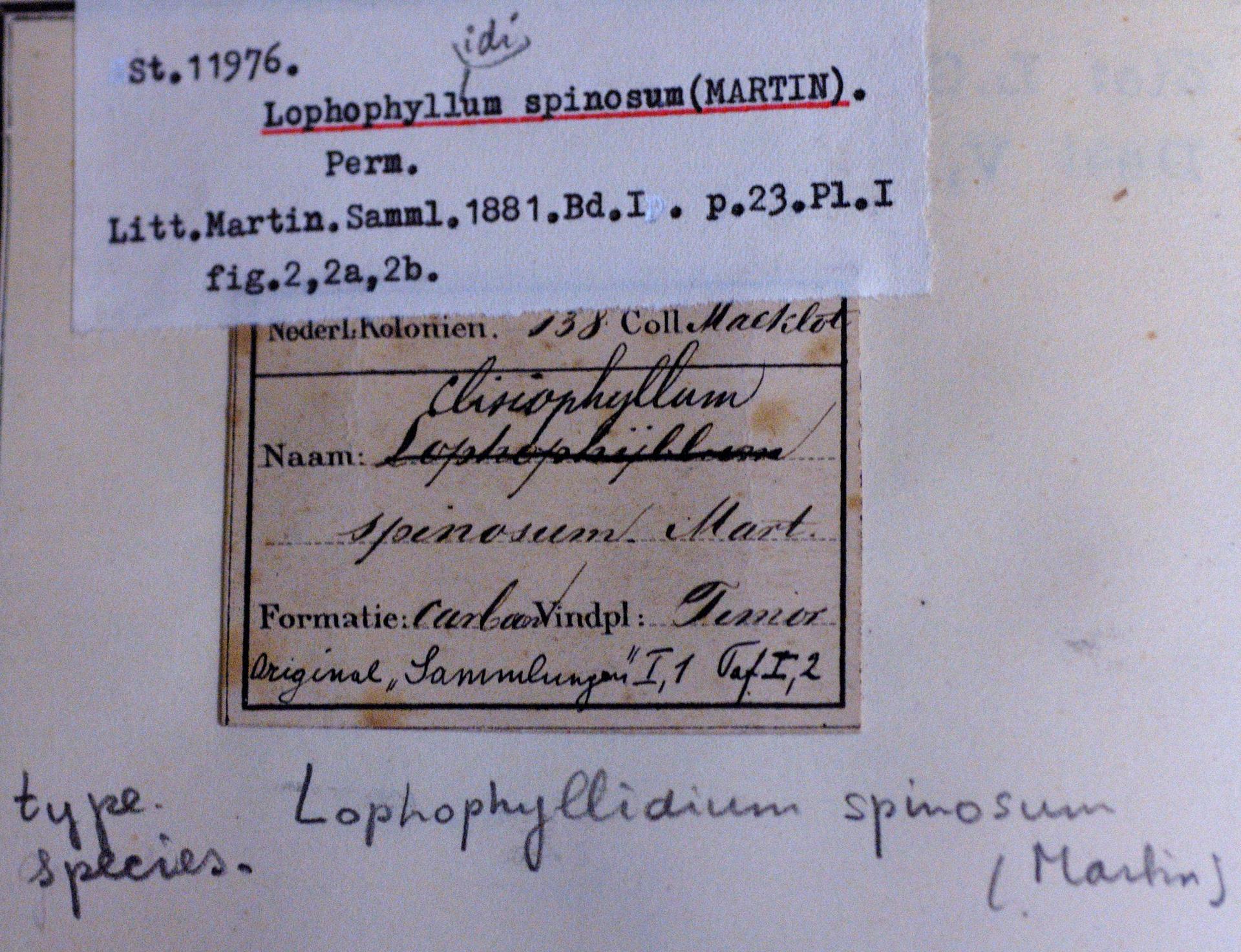 RGM.11976 | Lophophyllidium spinosum (Martin, 1883b)