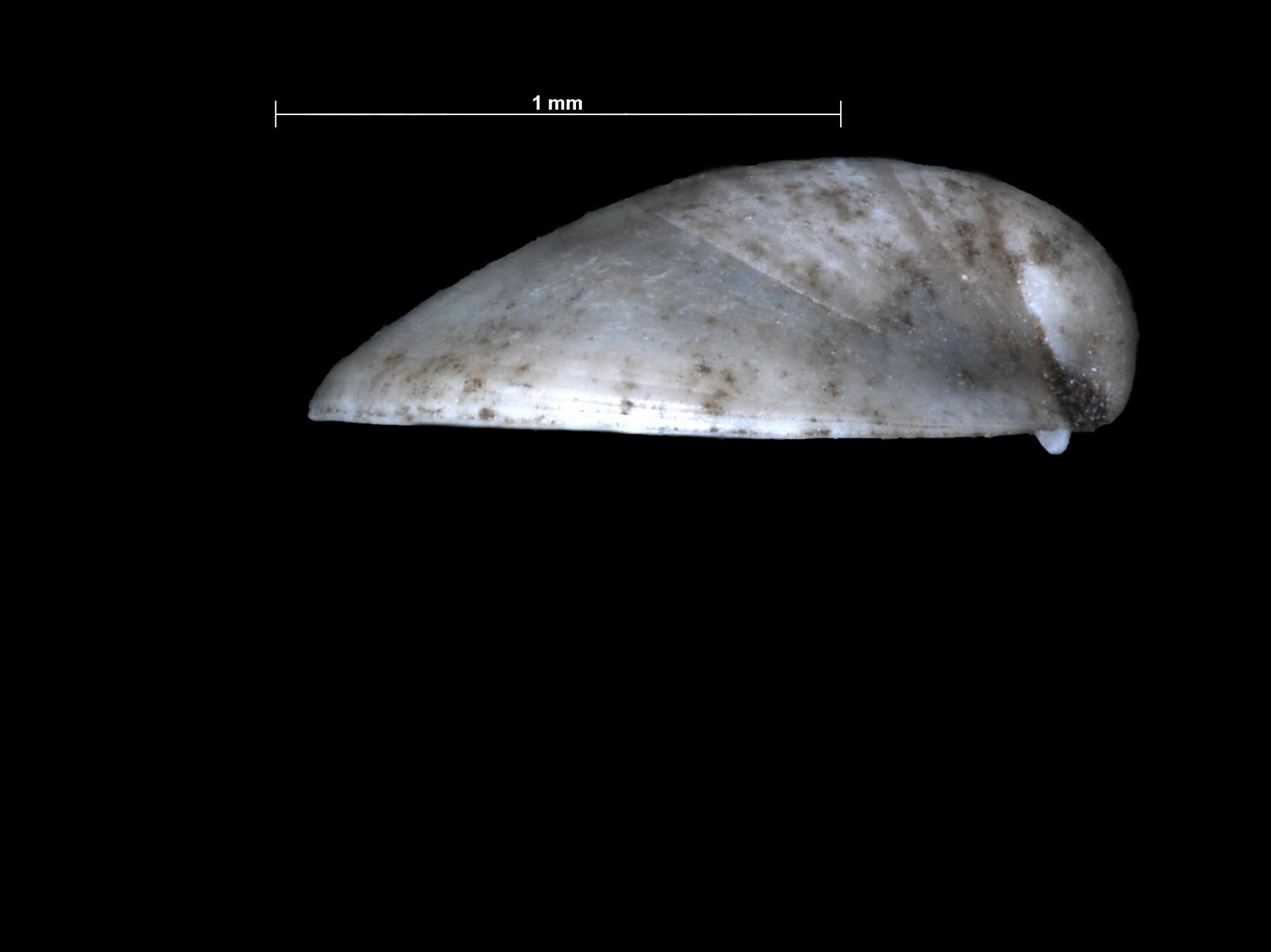 RGM.225425   Kellia suborbicularis (Montagu, 1803)