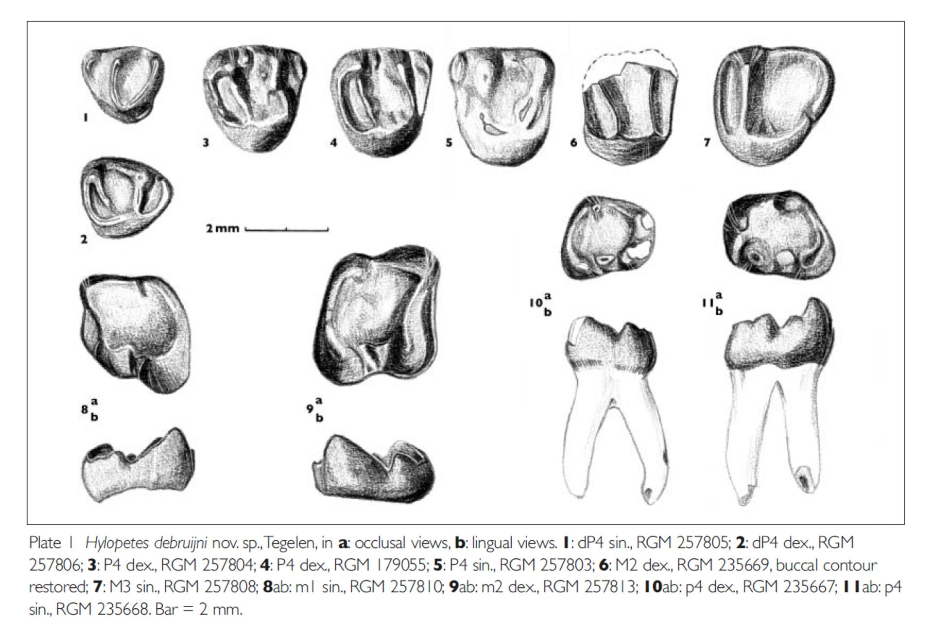 RGM.257805   Hylopetes debruijni Reumer & van den Hoek Ostende, 2003