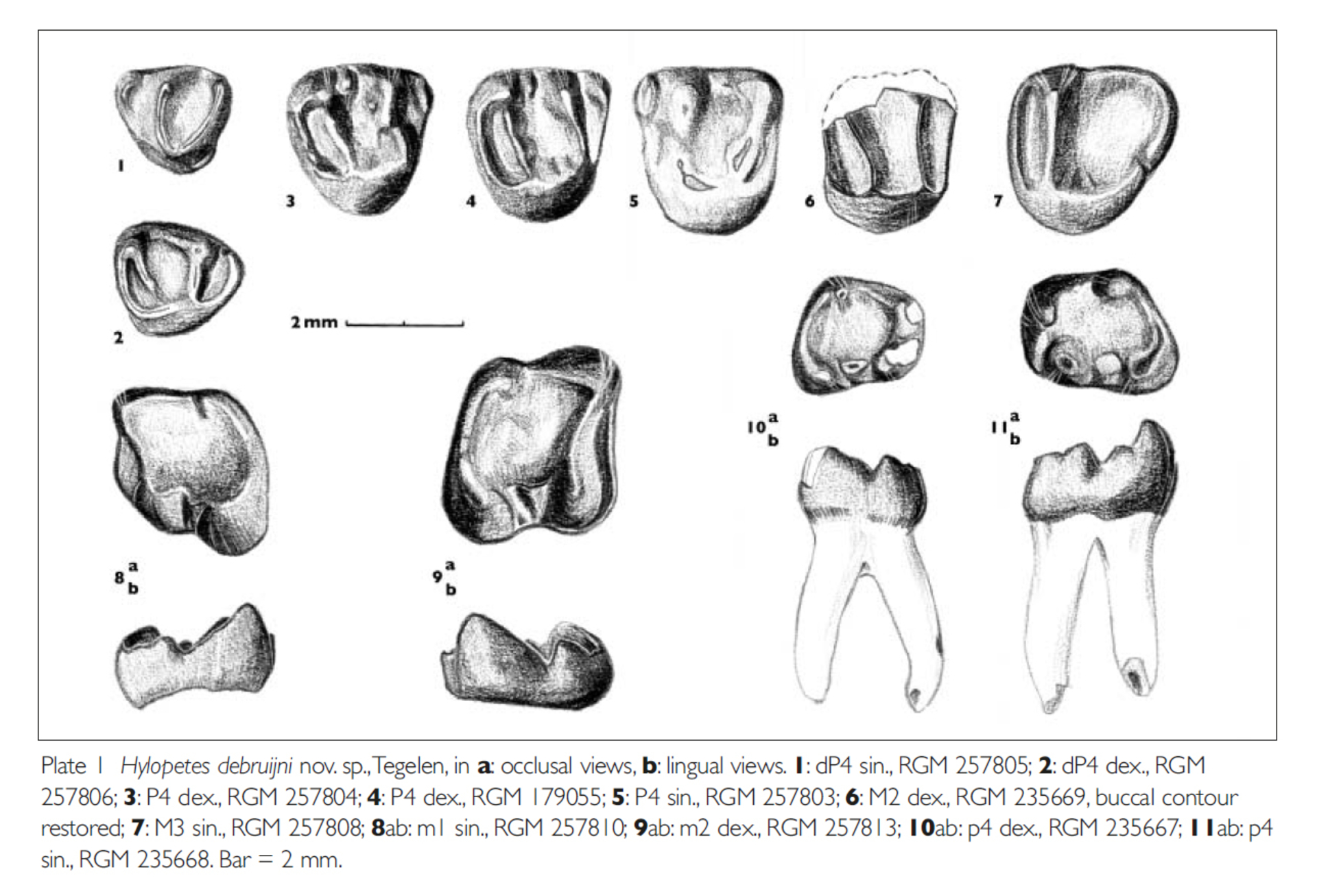 RGM.257810 | Hylopetes debruijni Reumer & van den Hoek Ostende, 2003