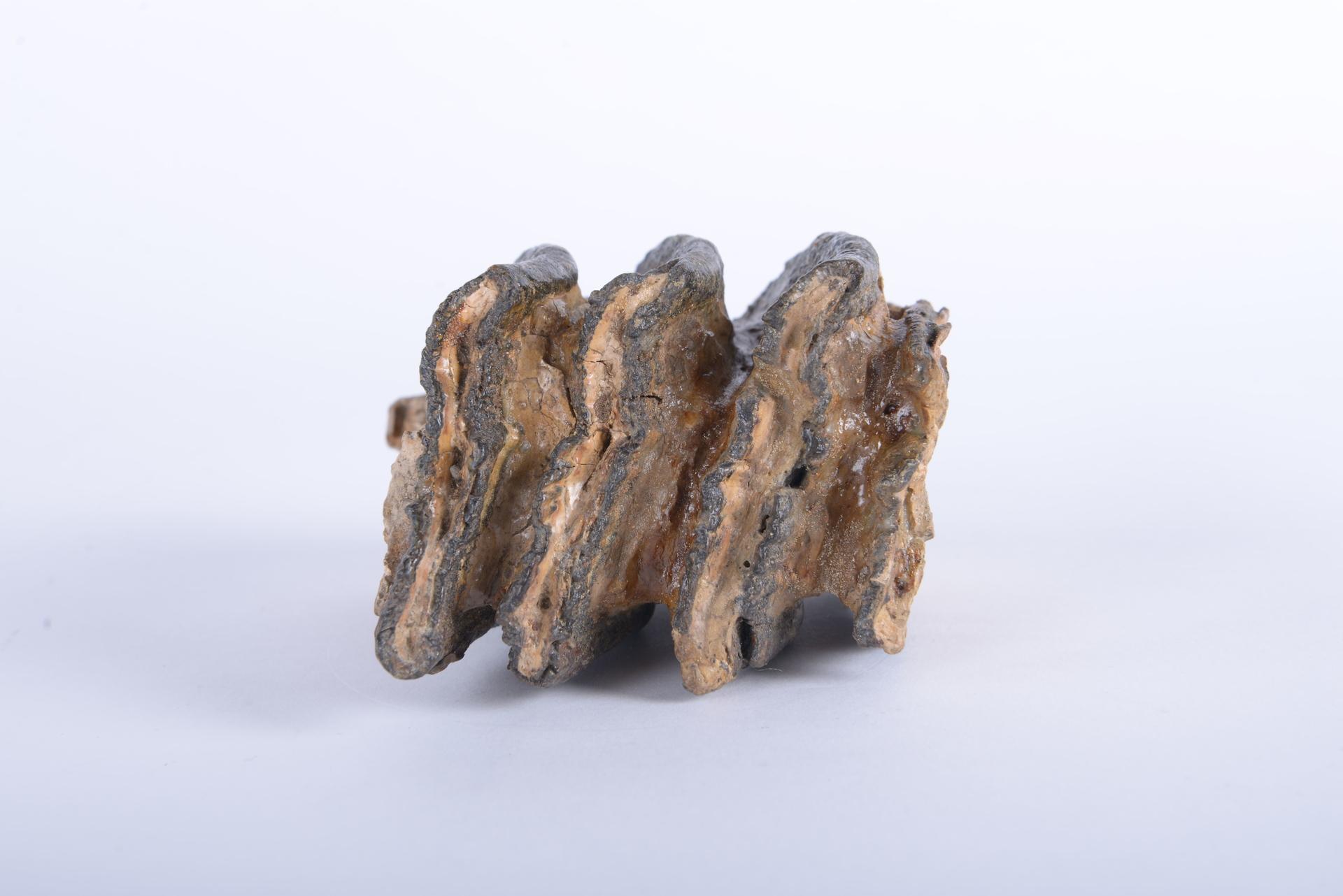 RGM.405888.b | Euelephas namadicus