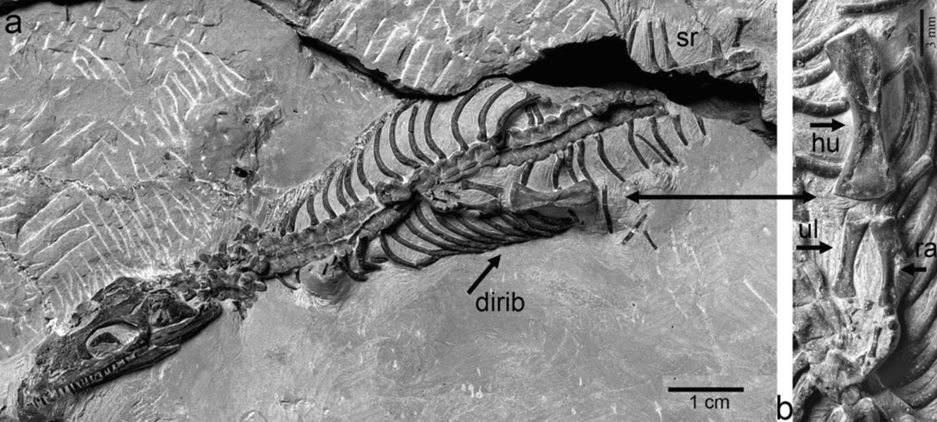 RGM.443858 | Anarosaurus heterodontus Rieppel & Lin, 1995