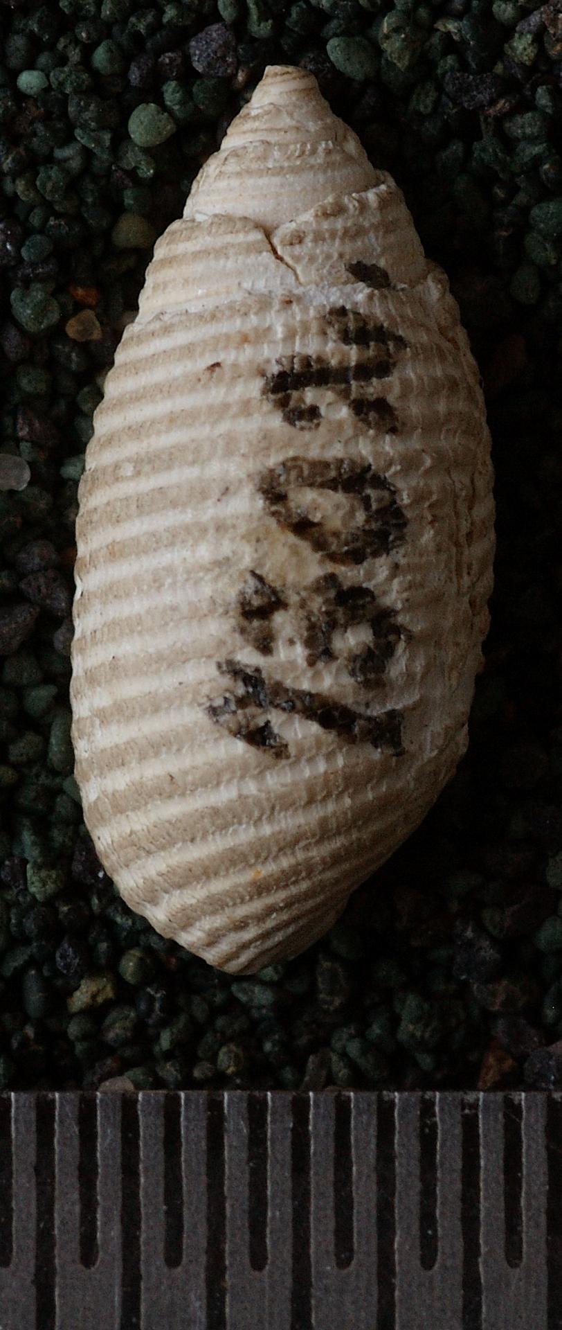 RGM.7302 | Pupa reticulata Martin, 1884