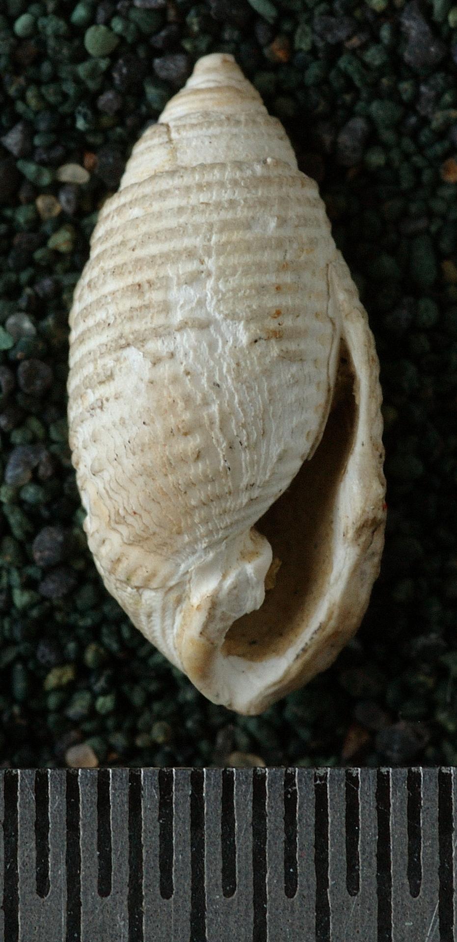 RGM.7302 | Pupa reticulata (Martin, 1884)
