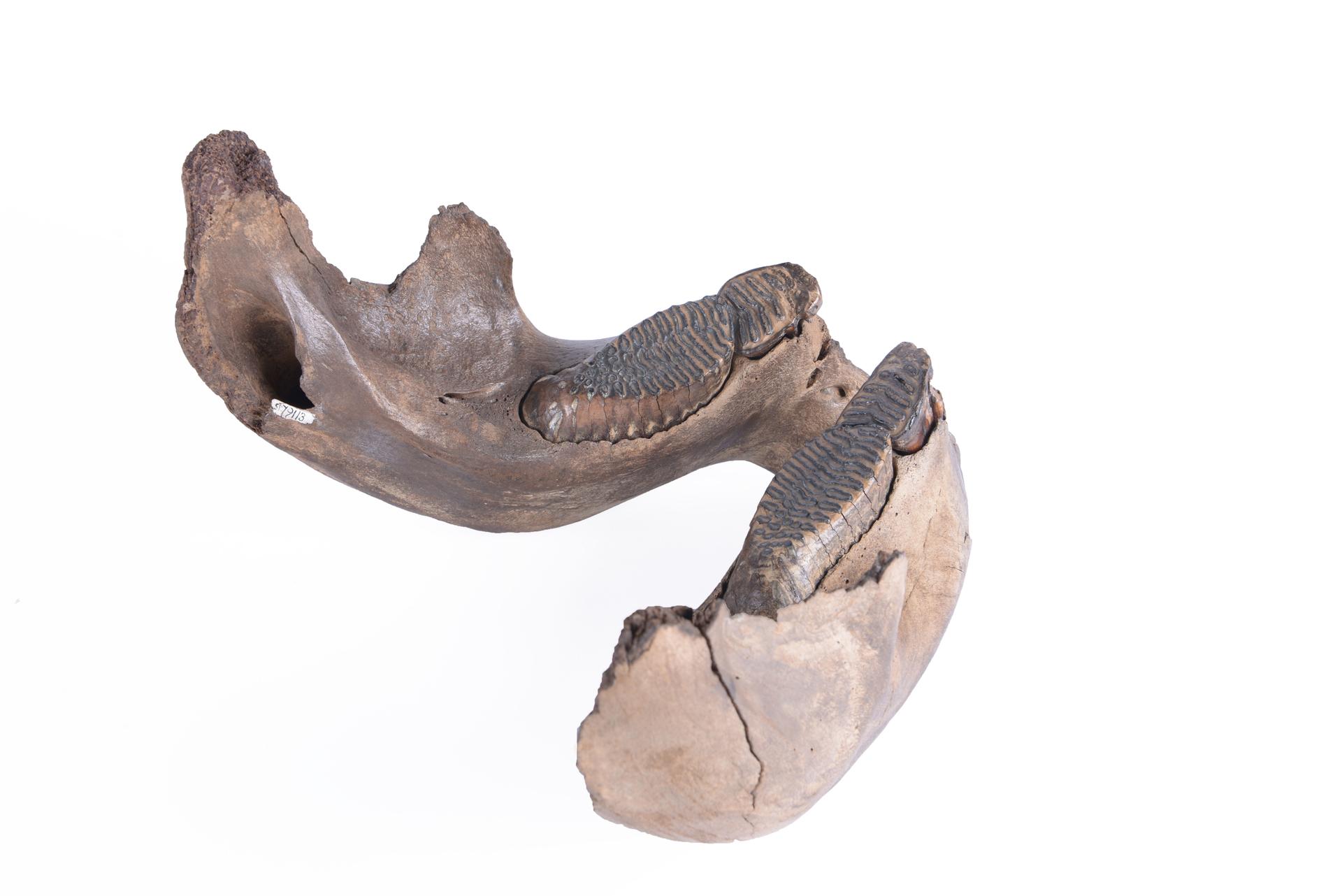 RGM.79113.a | Mammuthus primigenius Blumenbach, 1799