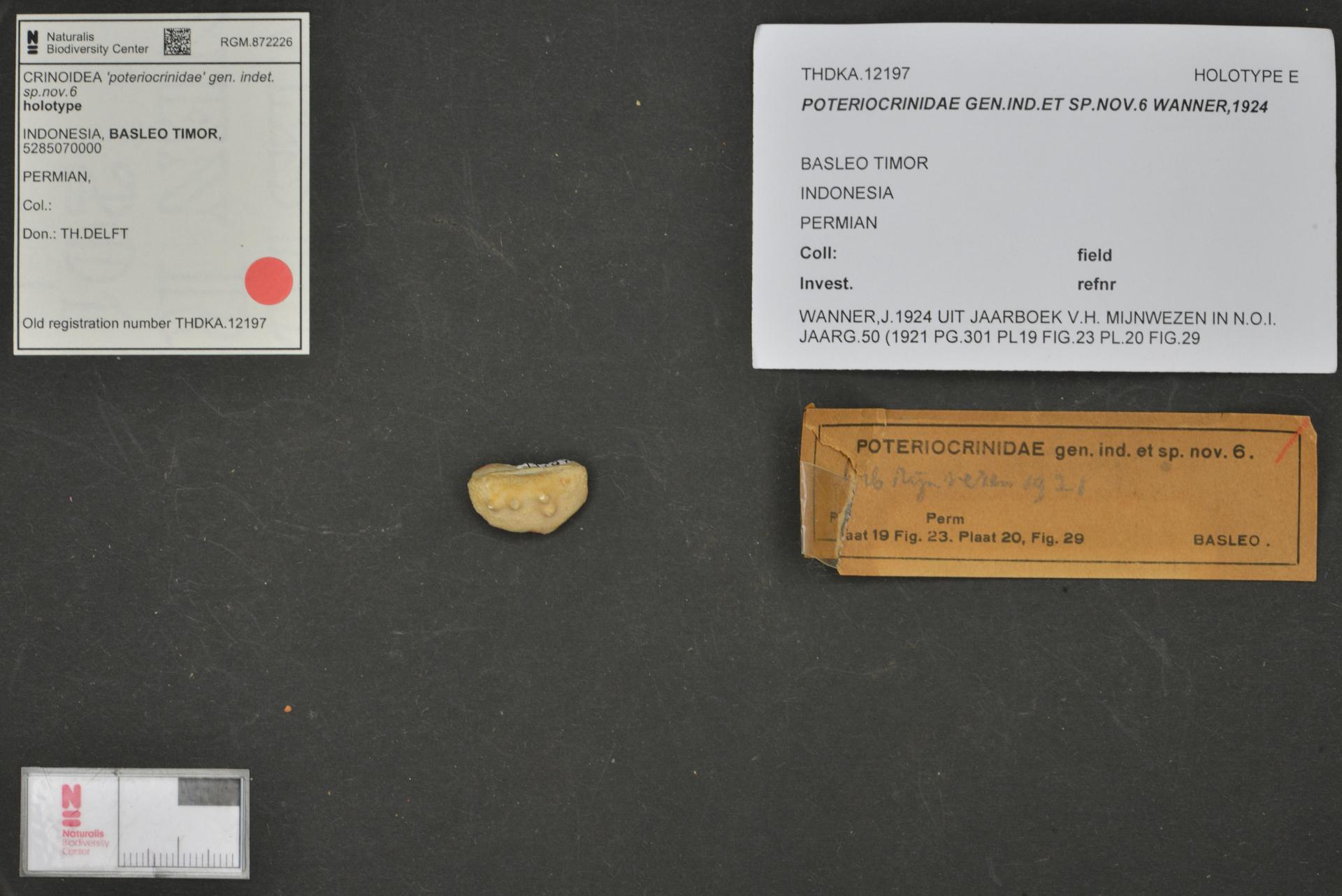RGM.872226 | 'poteriocrinidae' gen. indet. sp.nov.6