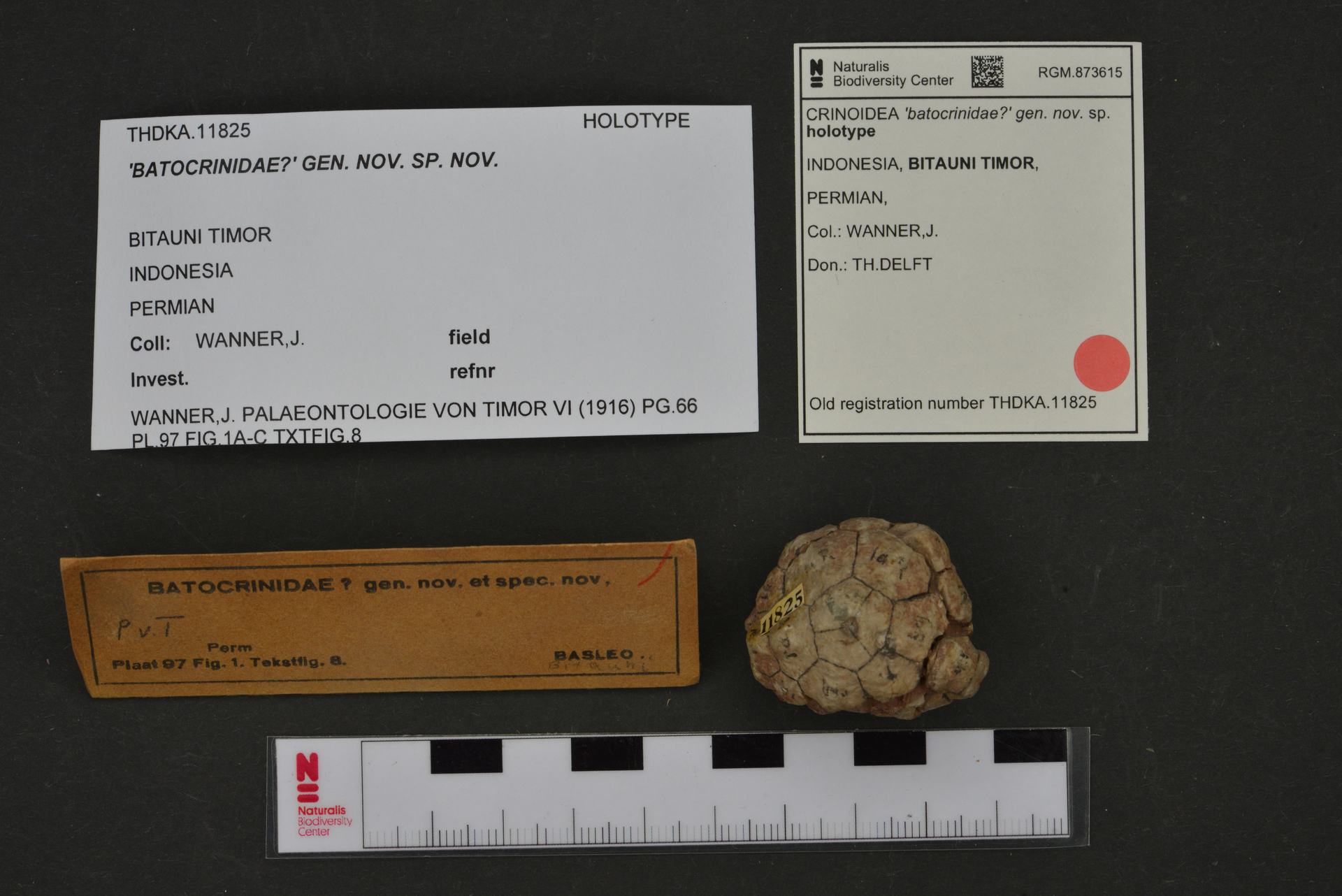RGM.873615 | 'batocrinidae?' gen. nov.