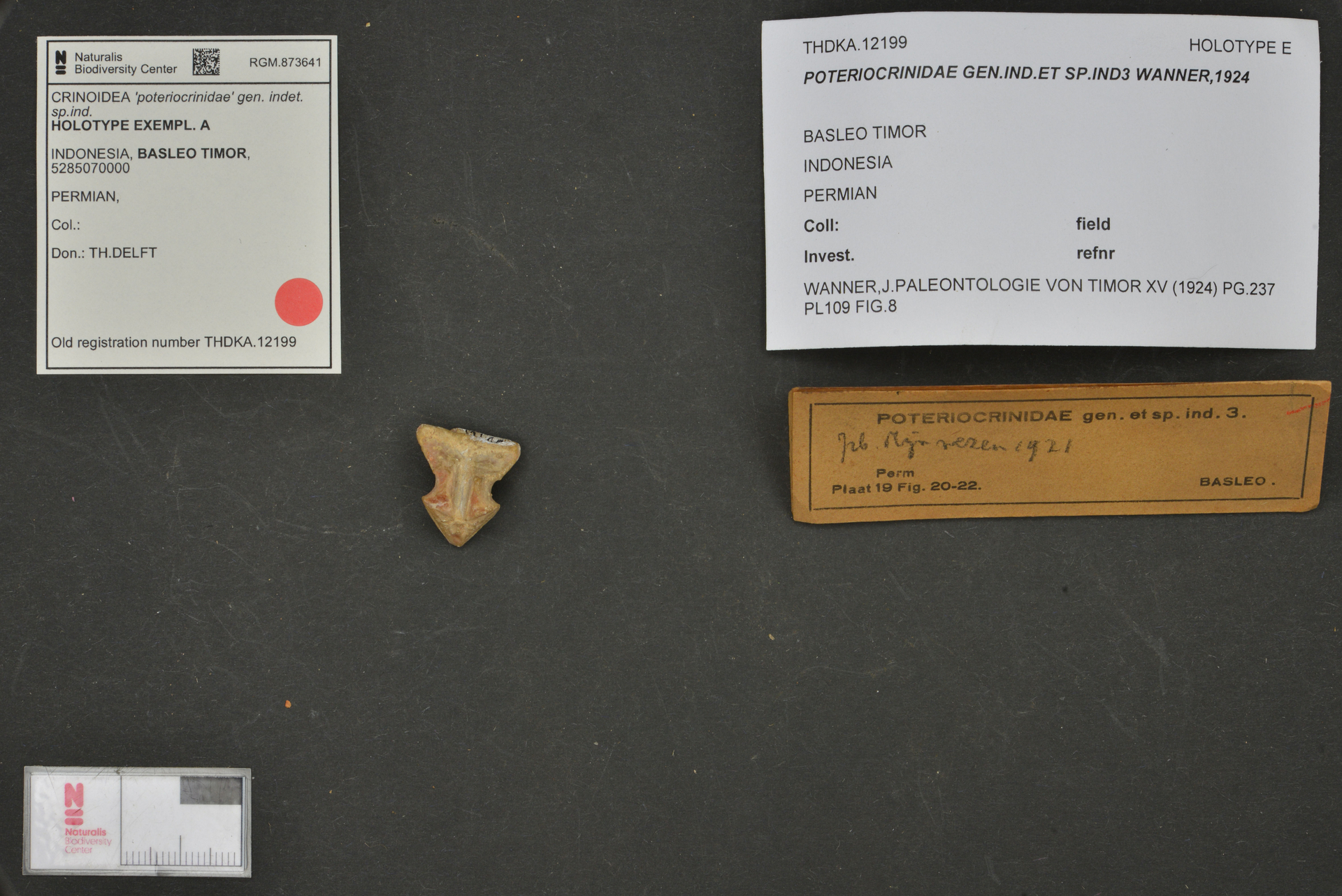 RGM.873641 | 'poteriocrinidae' gen. indet. sp.ind.