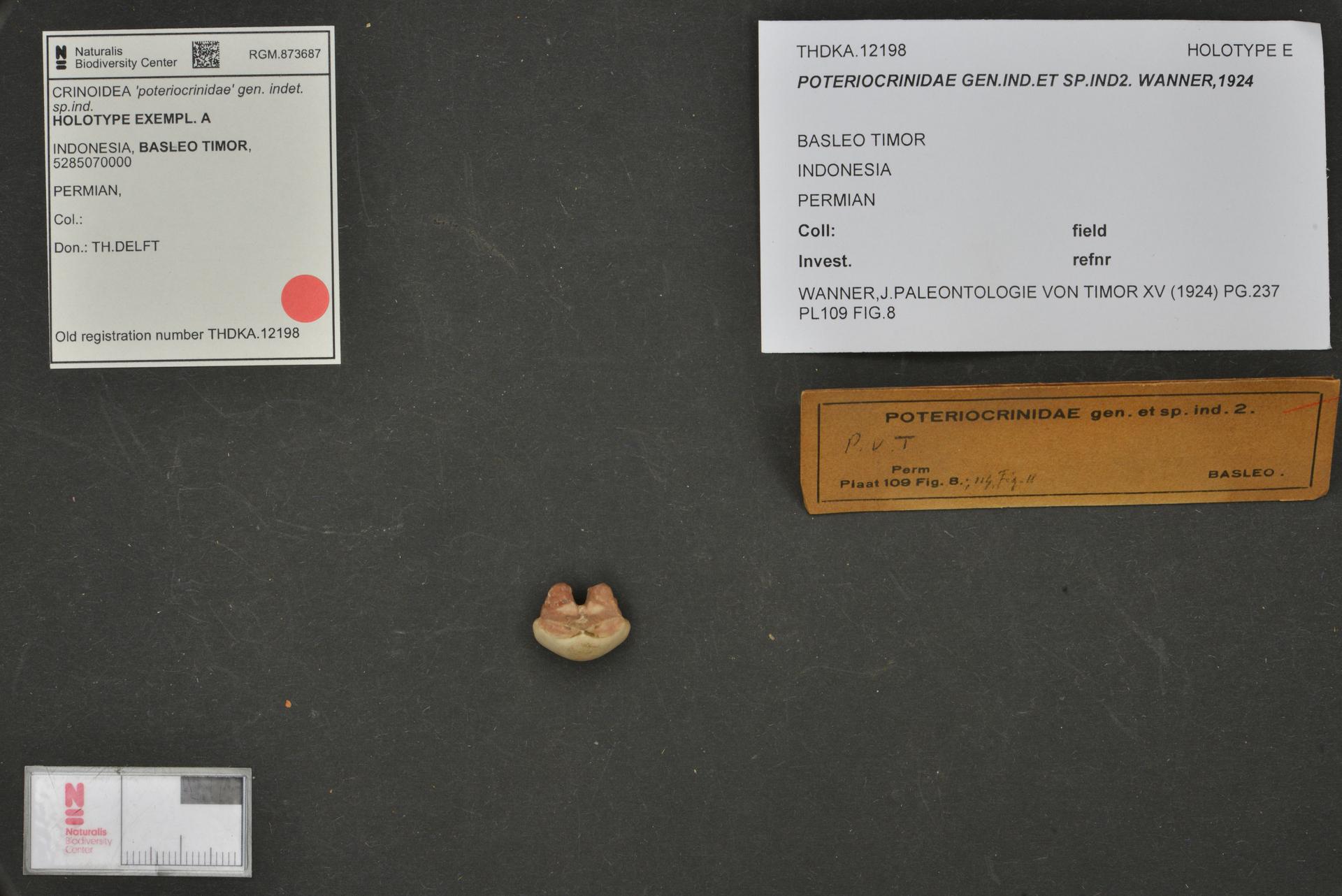 RGM.873687 | 'poteriocrinidae' gen. indet. sp.ind.
