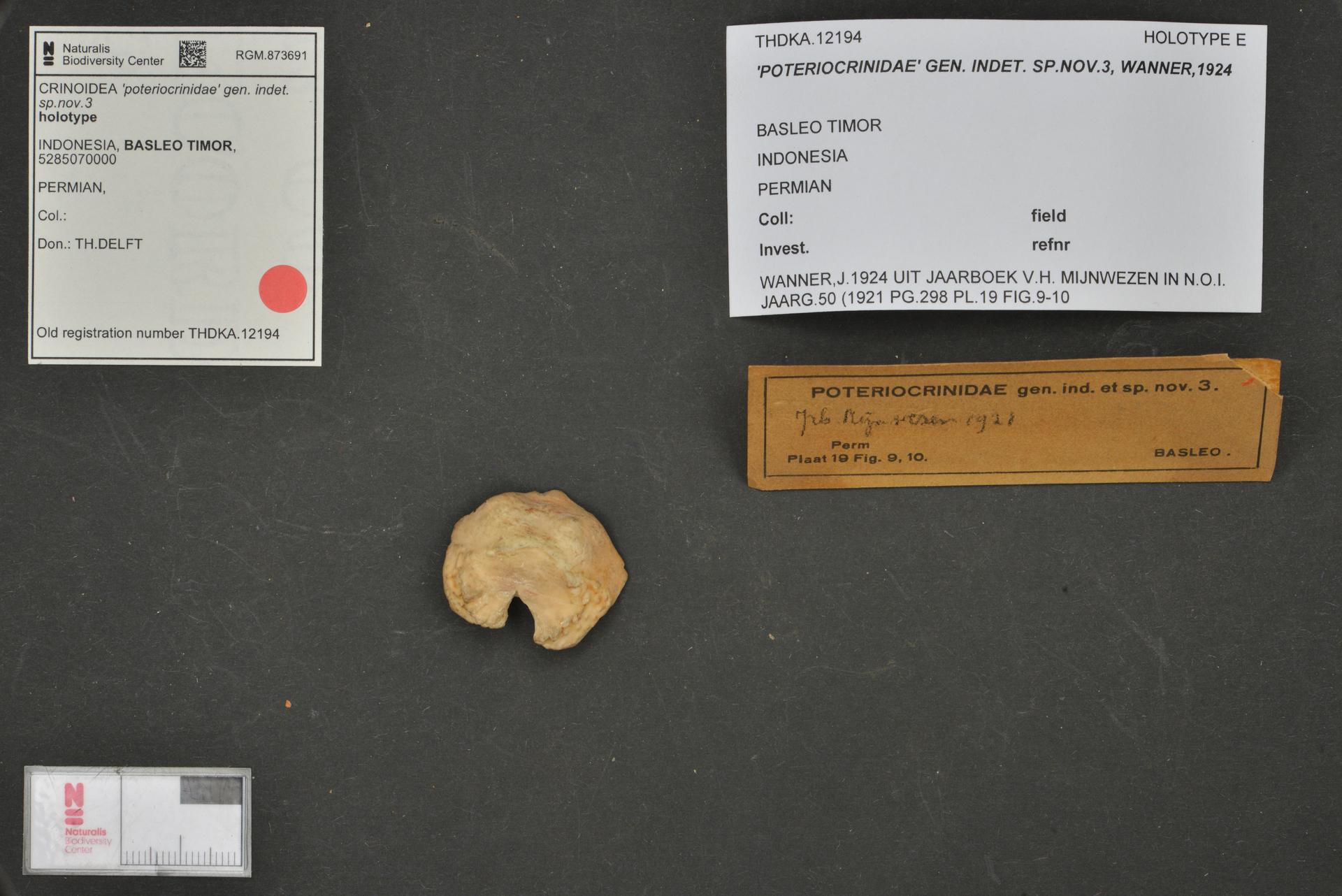 RGM.873691 | 'poteriocrinidae' gen. indet. sp.nov.3