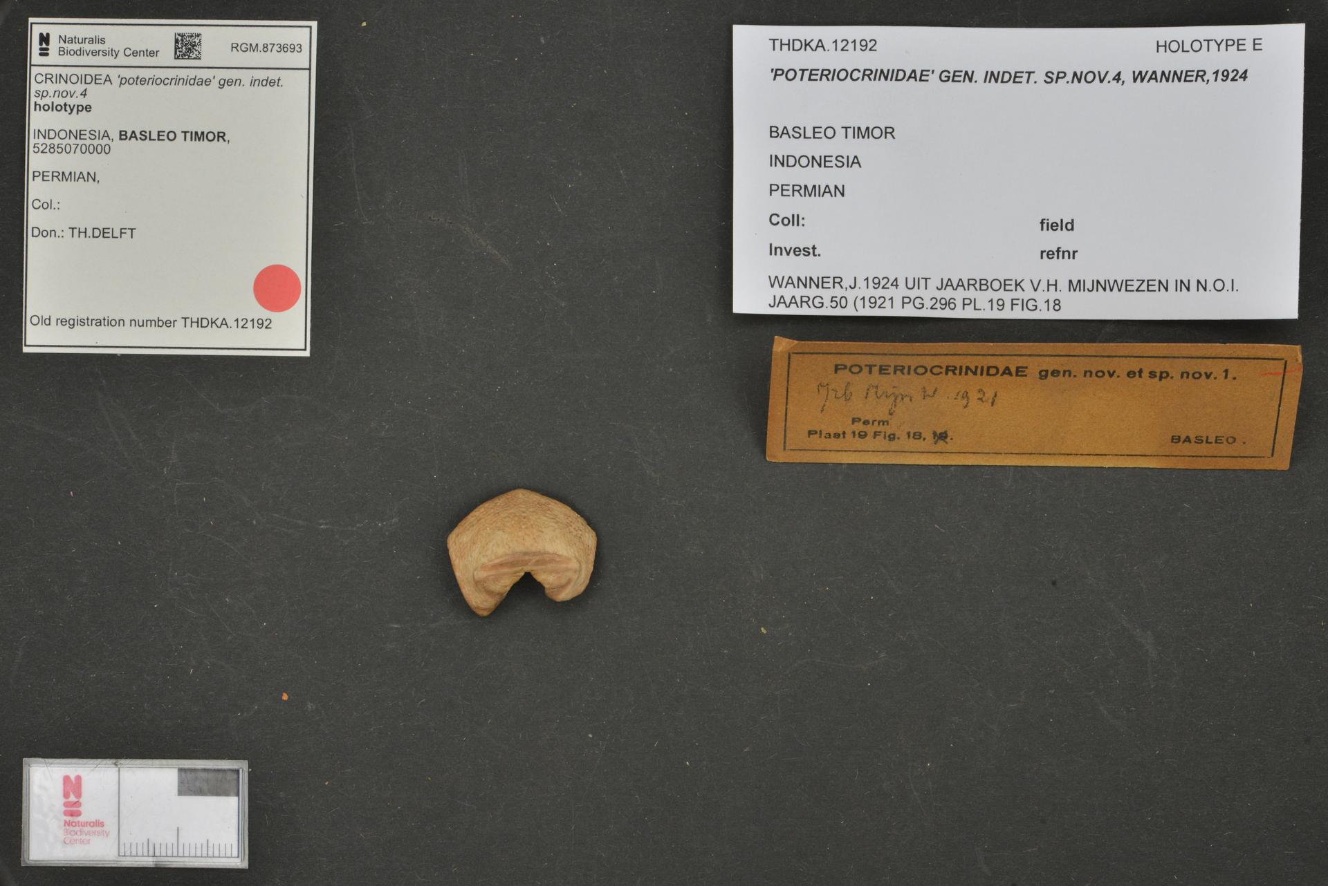 RGM.873693 | 'poteriocrinidae' gen. indet. sp.nov.4