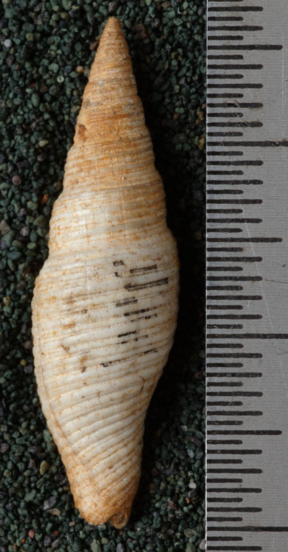 RGM.8903 | Mitra (Cancilla) rembangensis Martin, 1906
