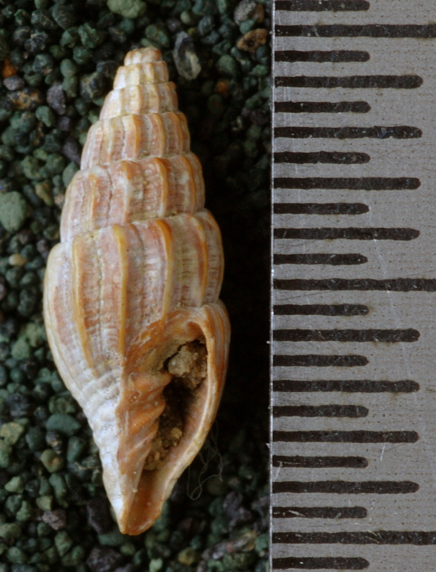 RGM.8937 | Mitra (Turricula) gembacana Martin, 1884