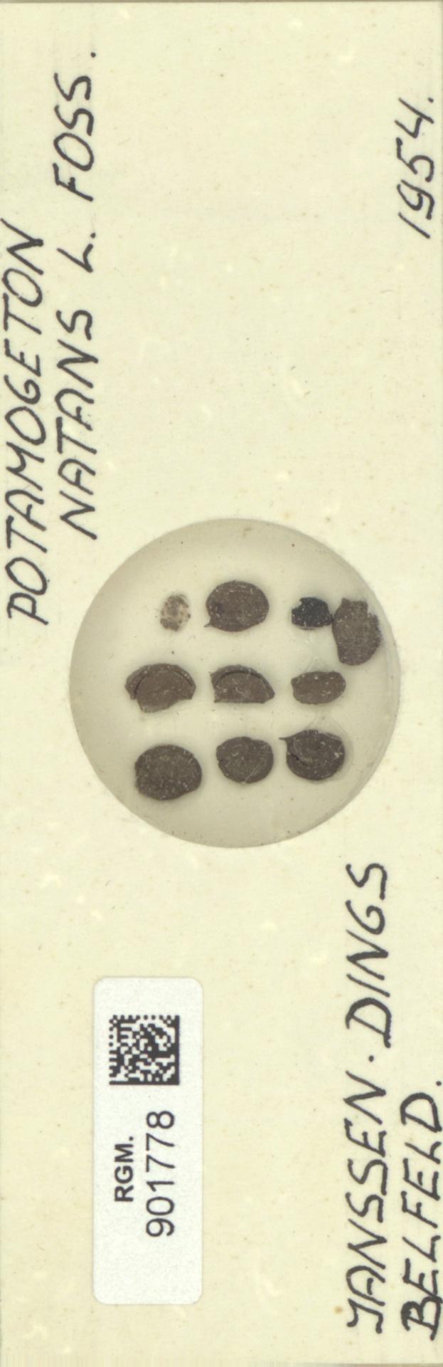 RGM.901778 | Potamogeton natans L.