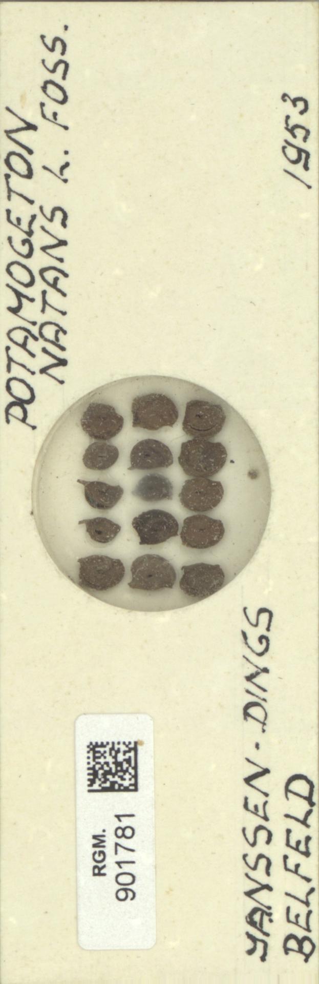 RGM.901781   Potamogeton natans L.